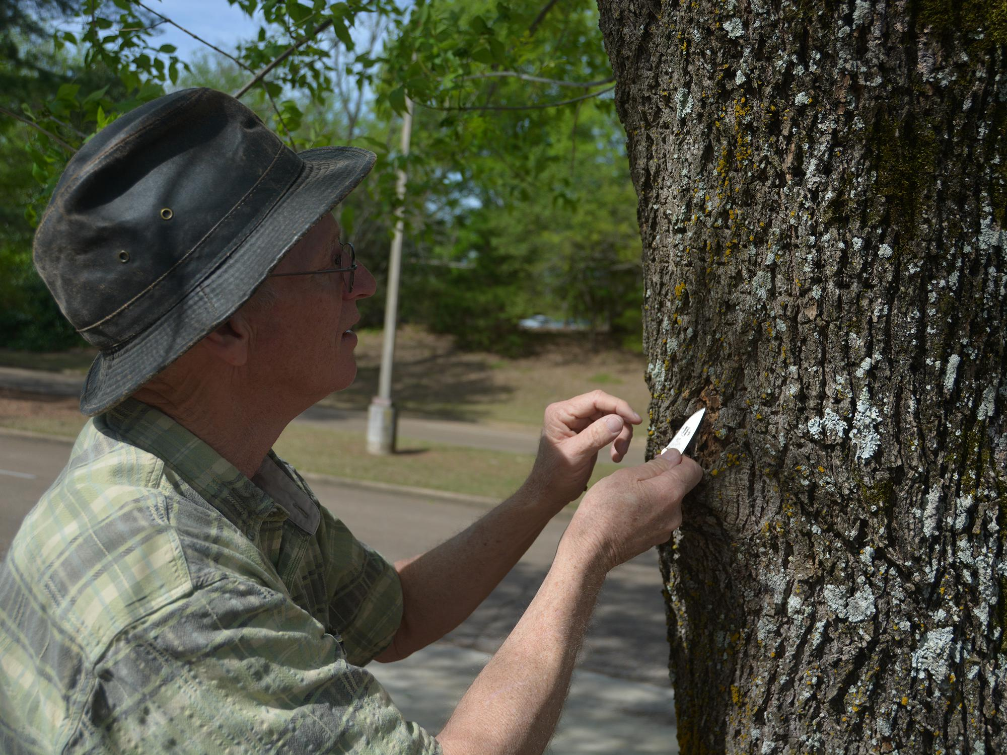 A man wearing a hat holds a pocketknife in his hand as he looks closely at a tree trunk.