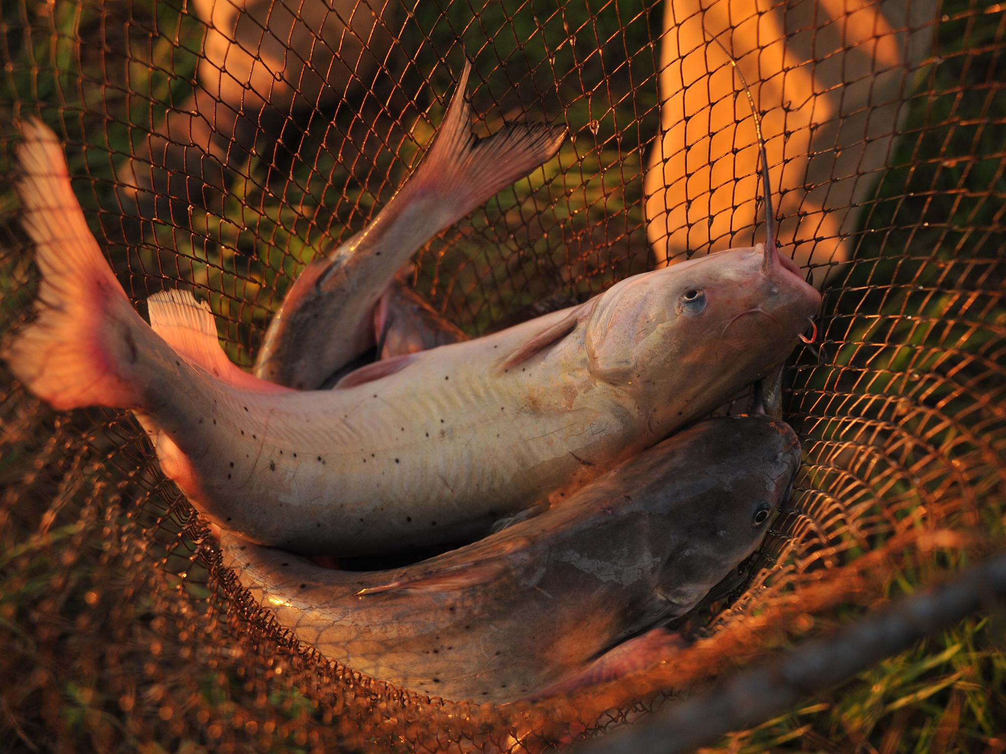 Two catfish with black spots and pink tails in a net.