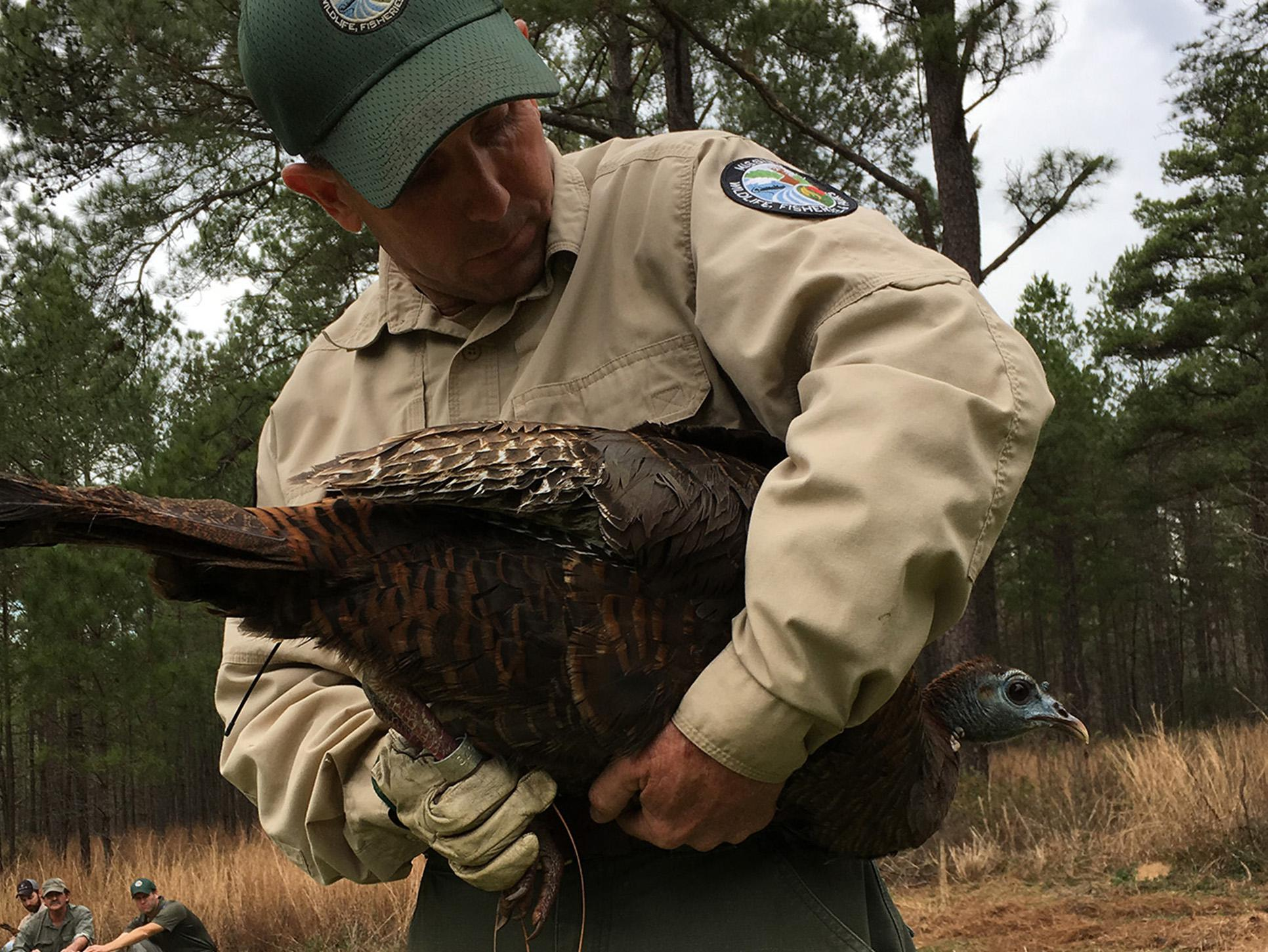A man in a conservation officer uniform stands looking down at a large bird held under his arm.