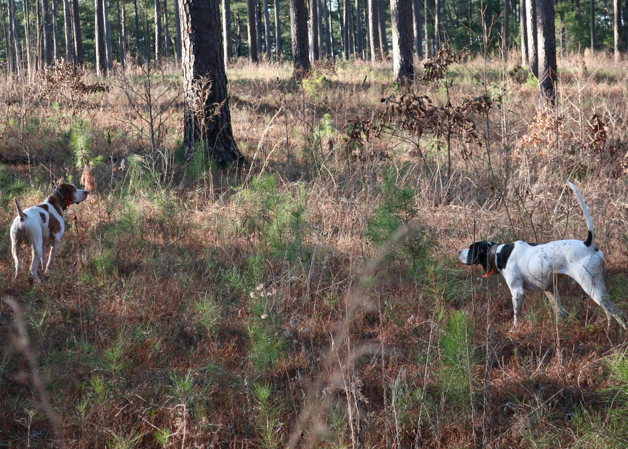 Two English Pointer hunting dogs tracking a scent in a forest.