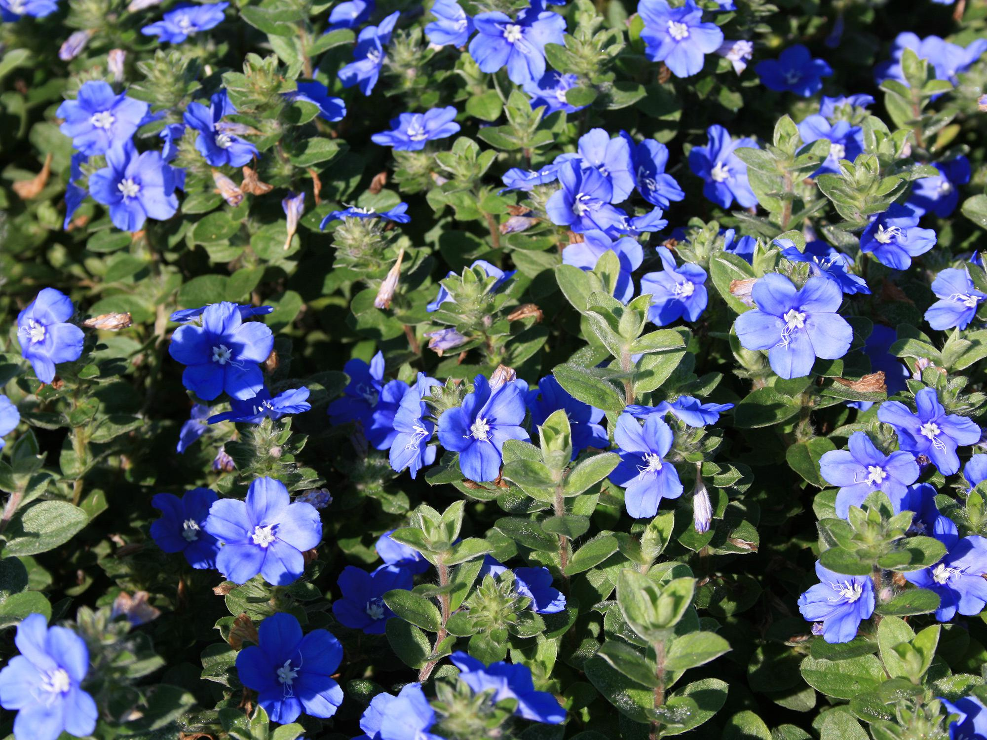 Dozens of blue flowers bloom above an uninterrupted sea of green leaves