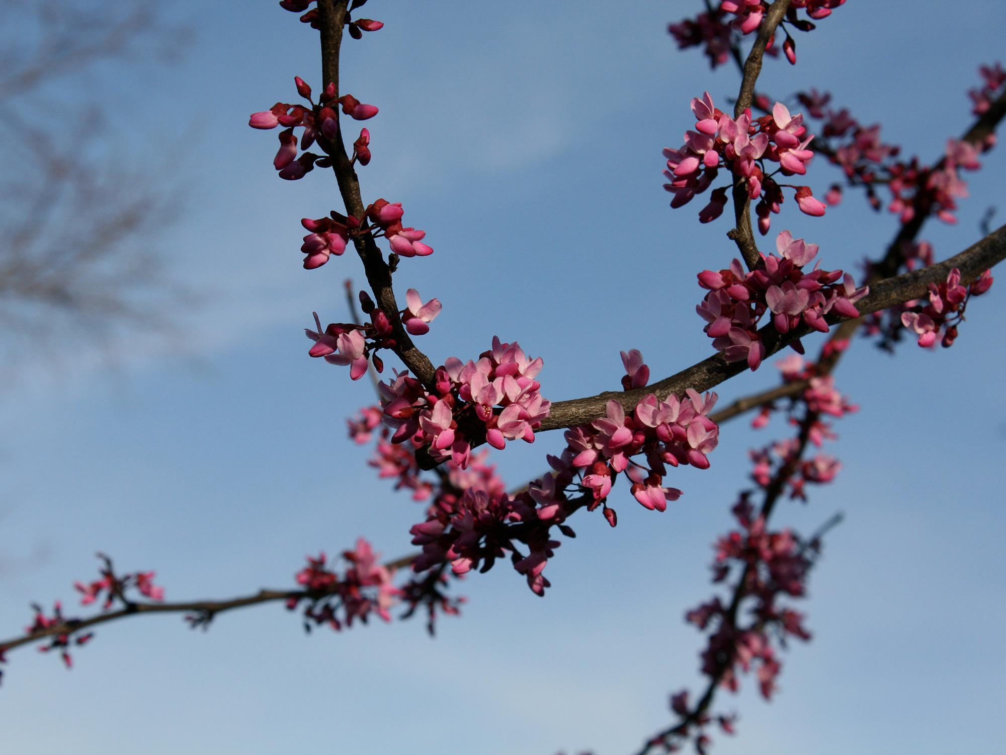 Pea-sized redbud flowers hang from thin tree branches.