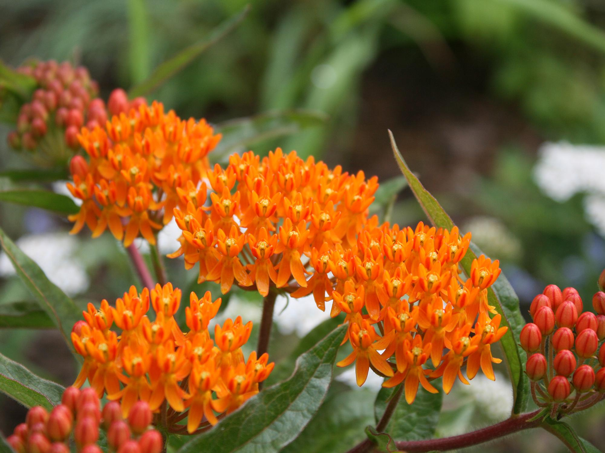 Small, orange flower petals cluster together on top of stems and leaves.