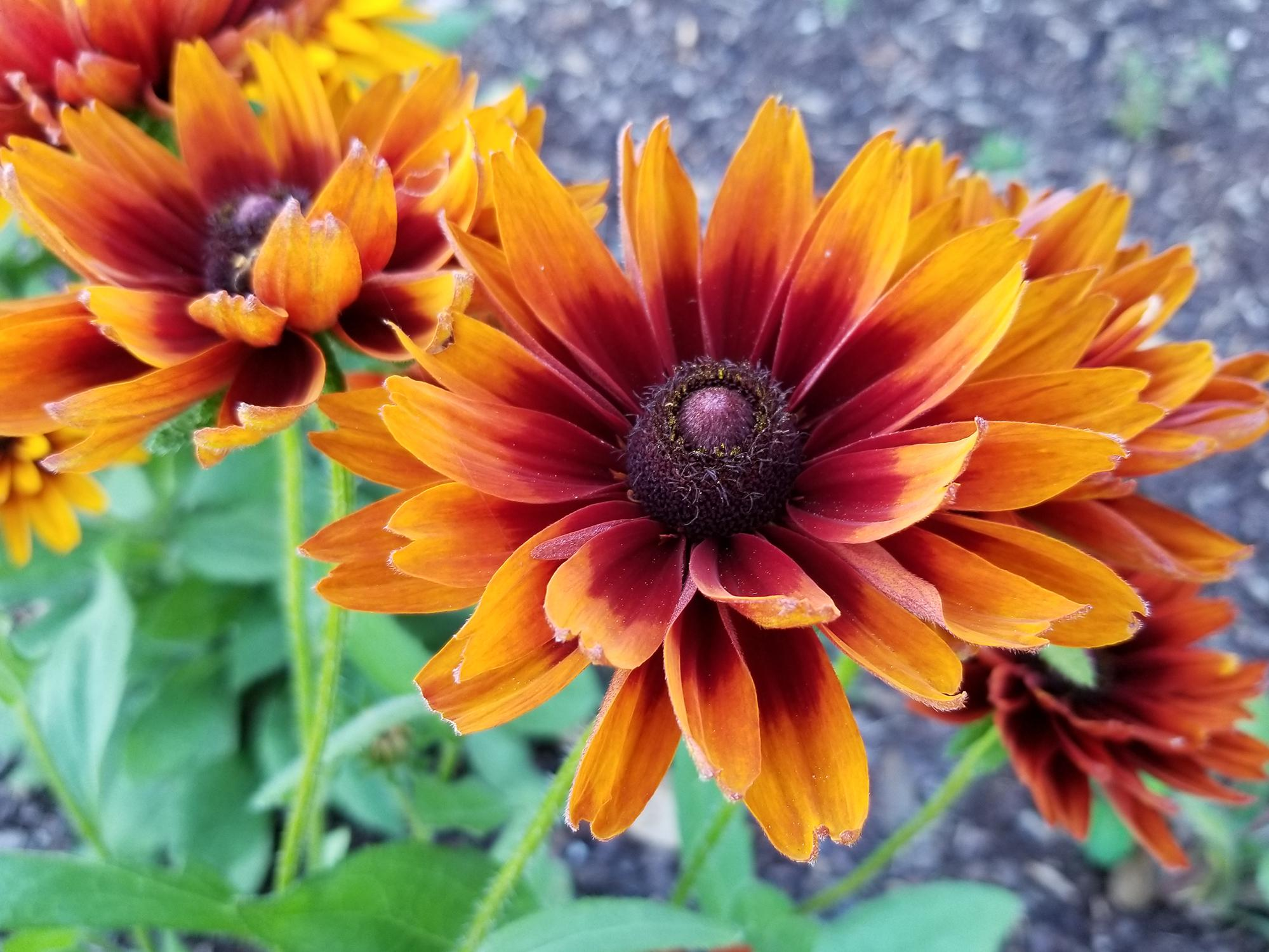 A single, large bloom in orange, red and brown commands the center of this photo, with others of similar color in the background.