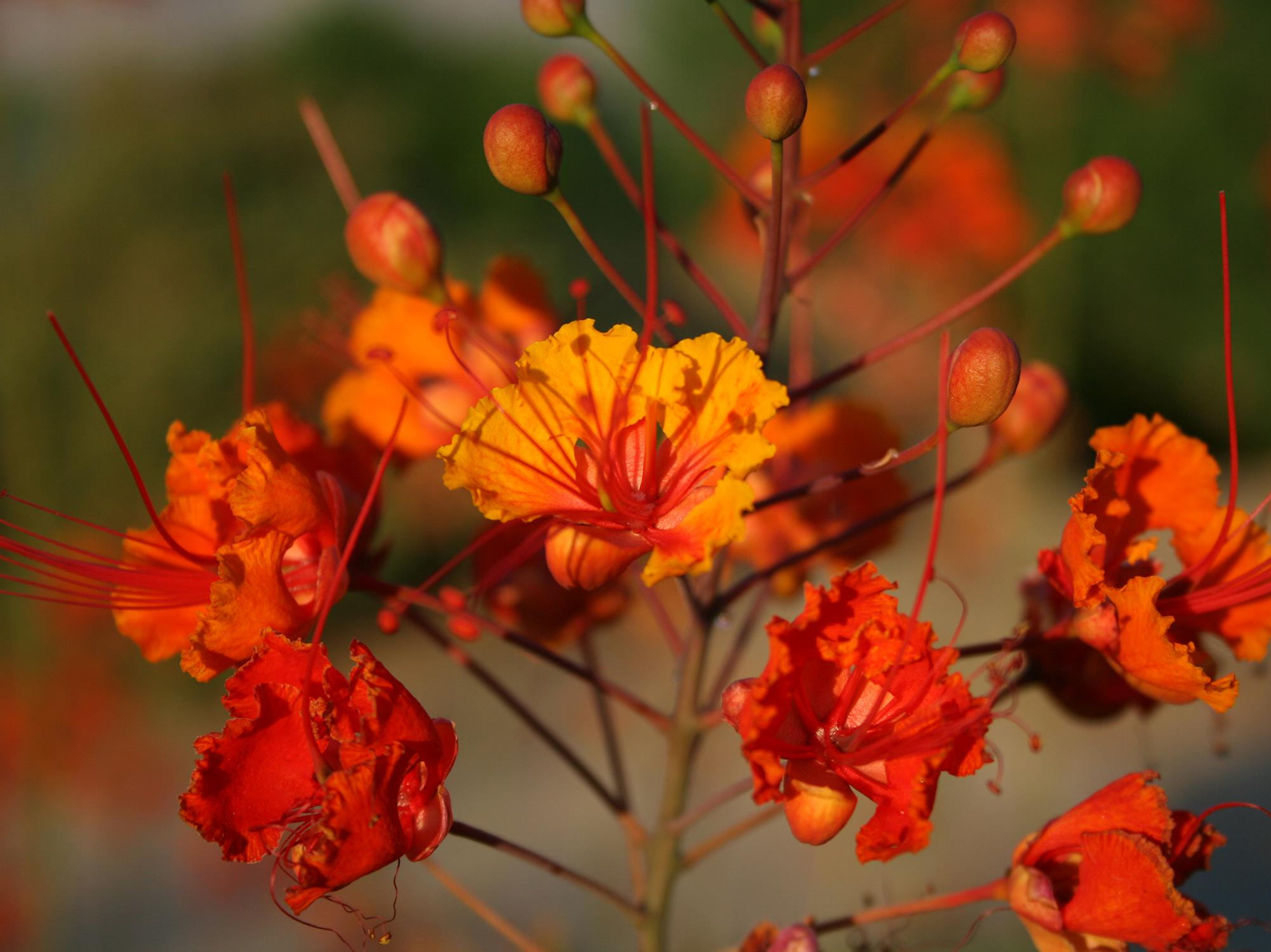 A cluster of orange flowers with red stamens.