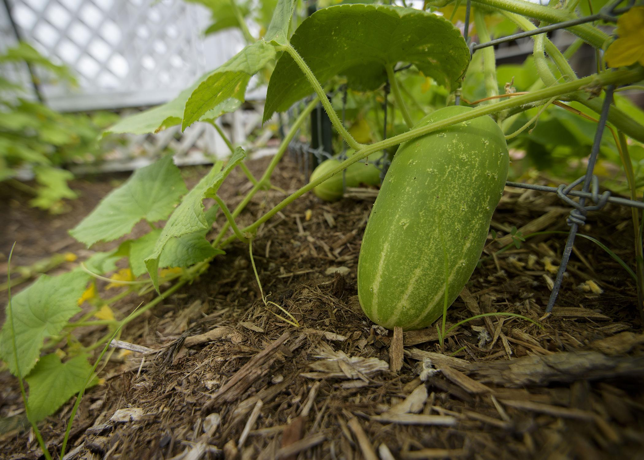 A close-up photo of a green cucumber growing on a vine with another visible in the background.