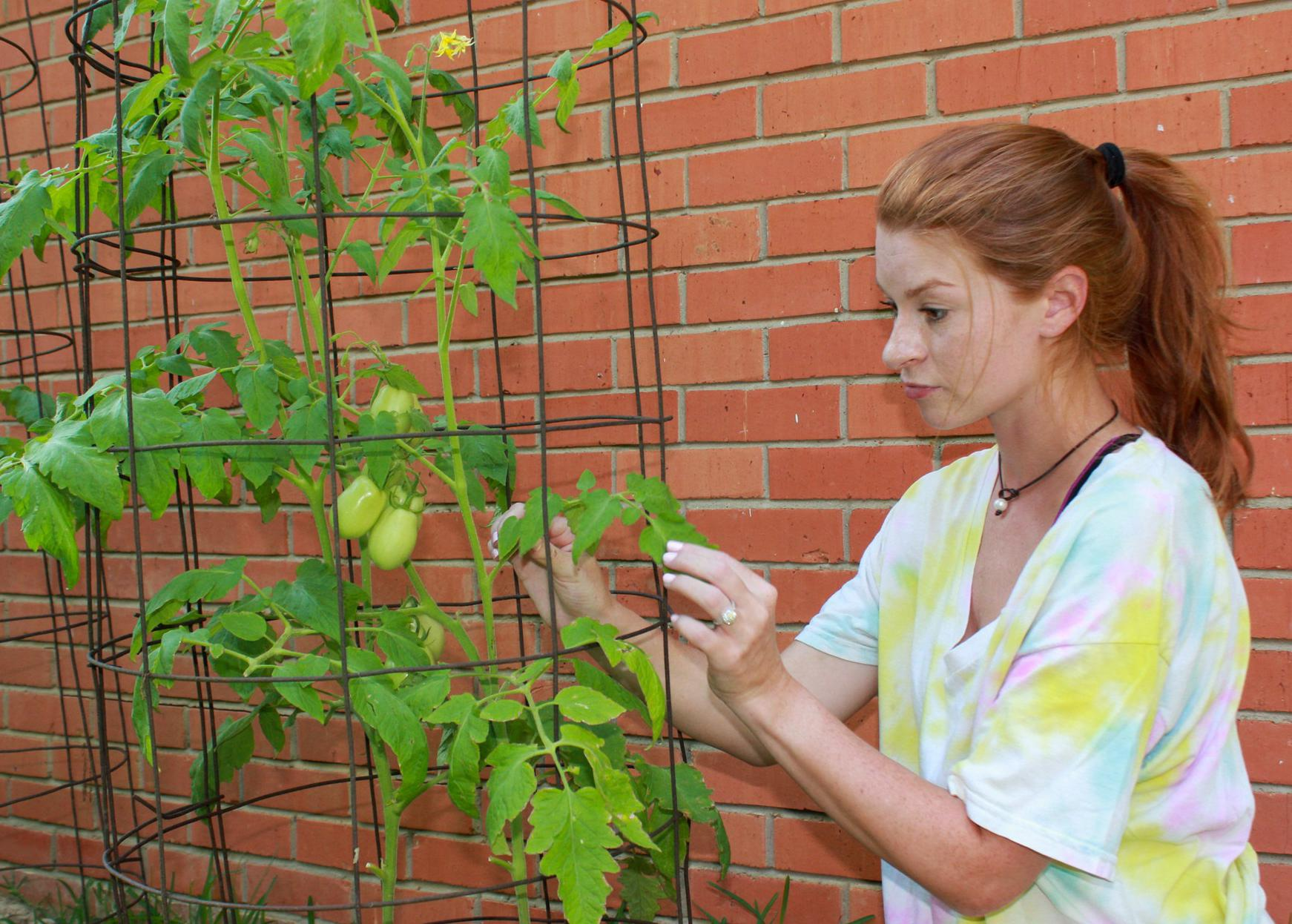 A woman handles a tomato plant growing in a wire frame.