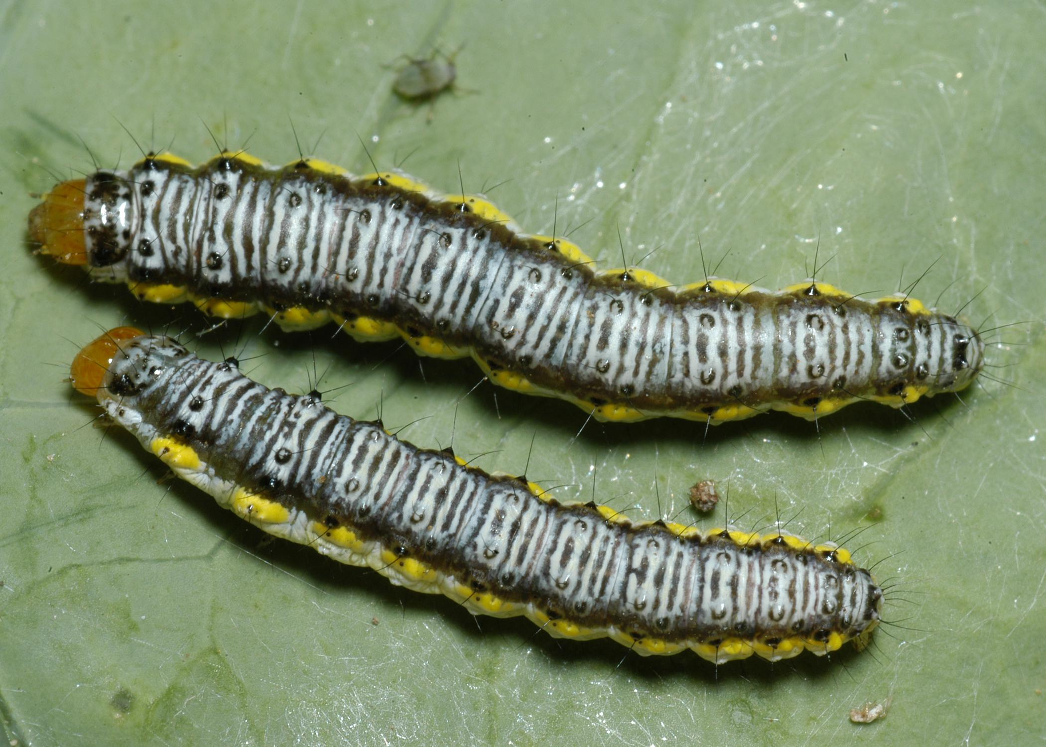 Two caterpillars with white, black and yellow markings sit side by side on a leaf.