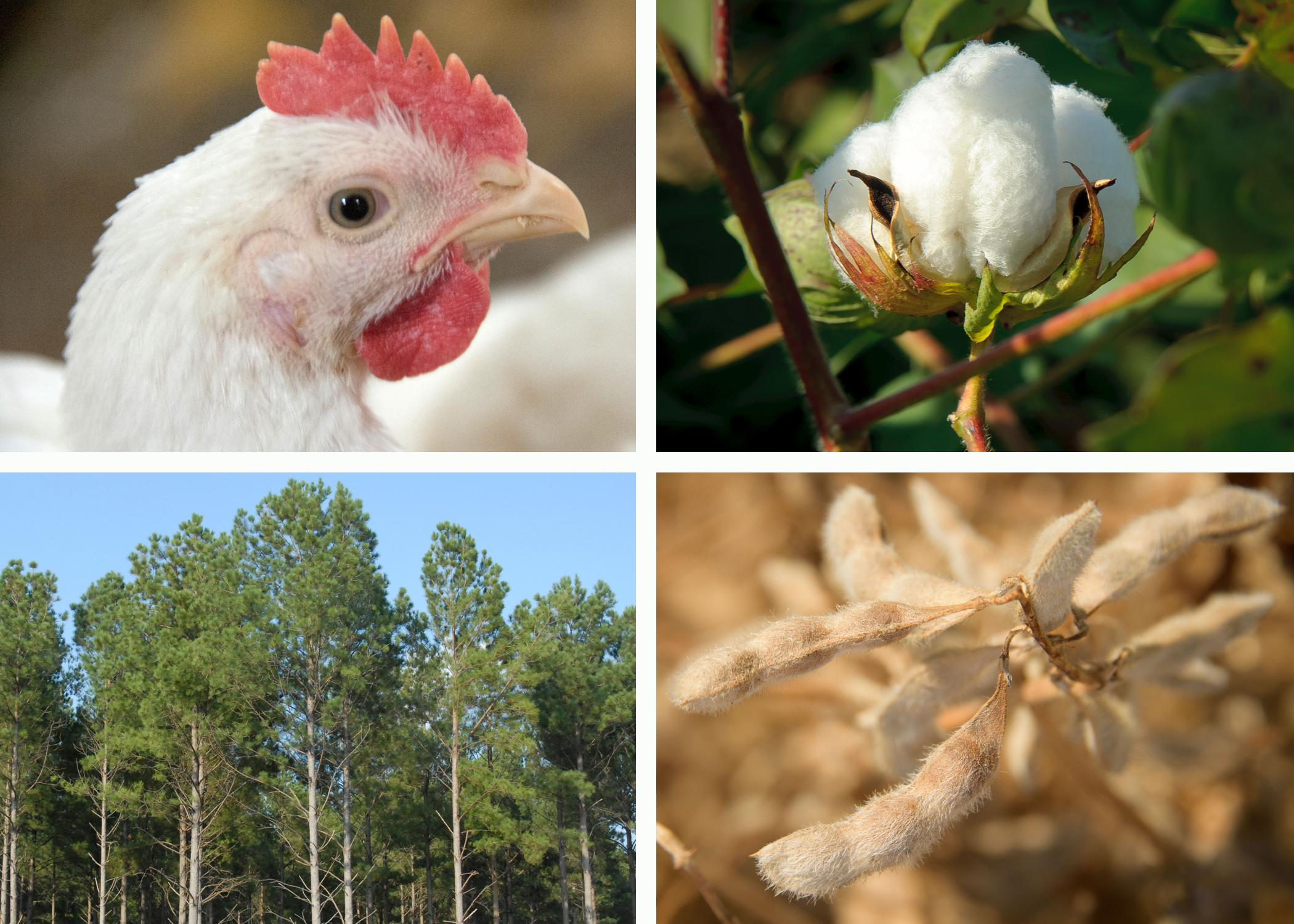 Four panels display a chicken, a cotton boll, a timber stand and a dried soybean plant.