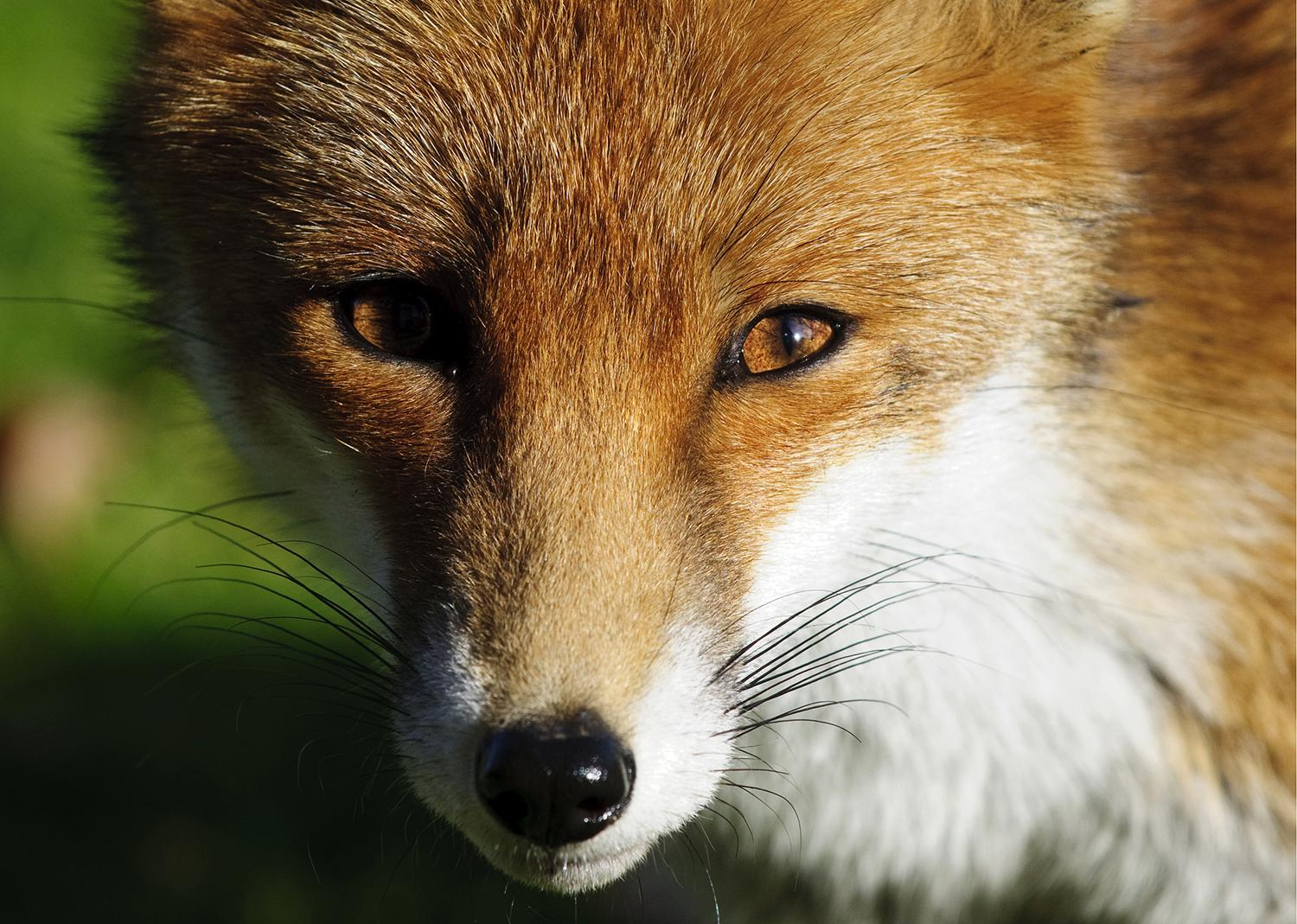 A red fox with a white neck.