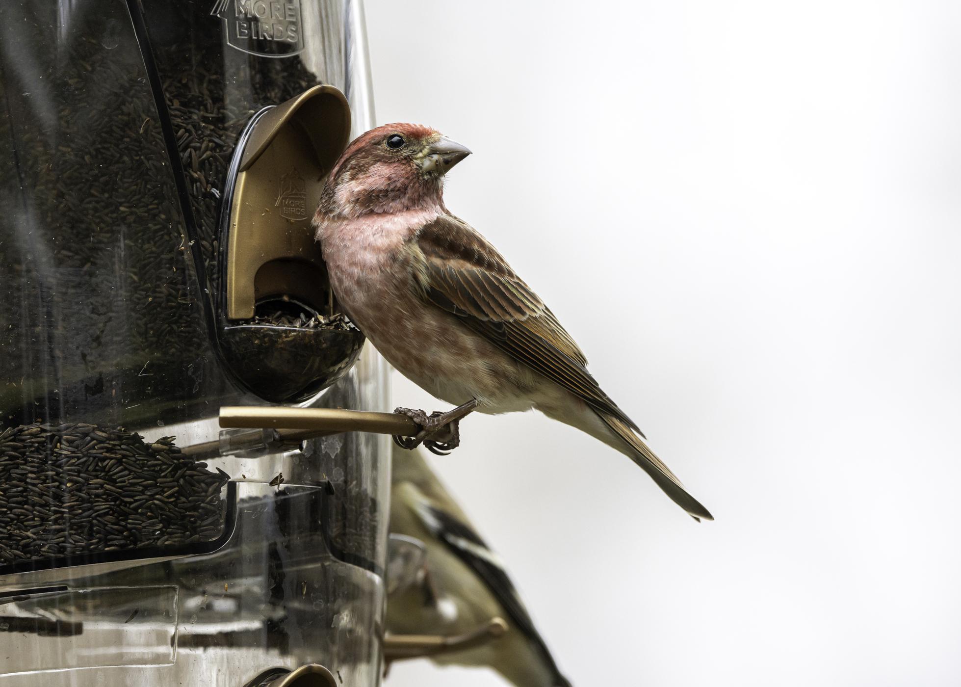 A bird eats seed from a feeder.