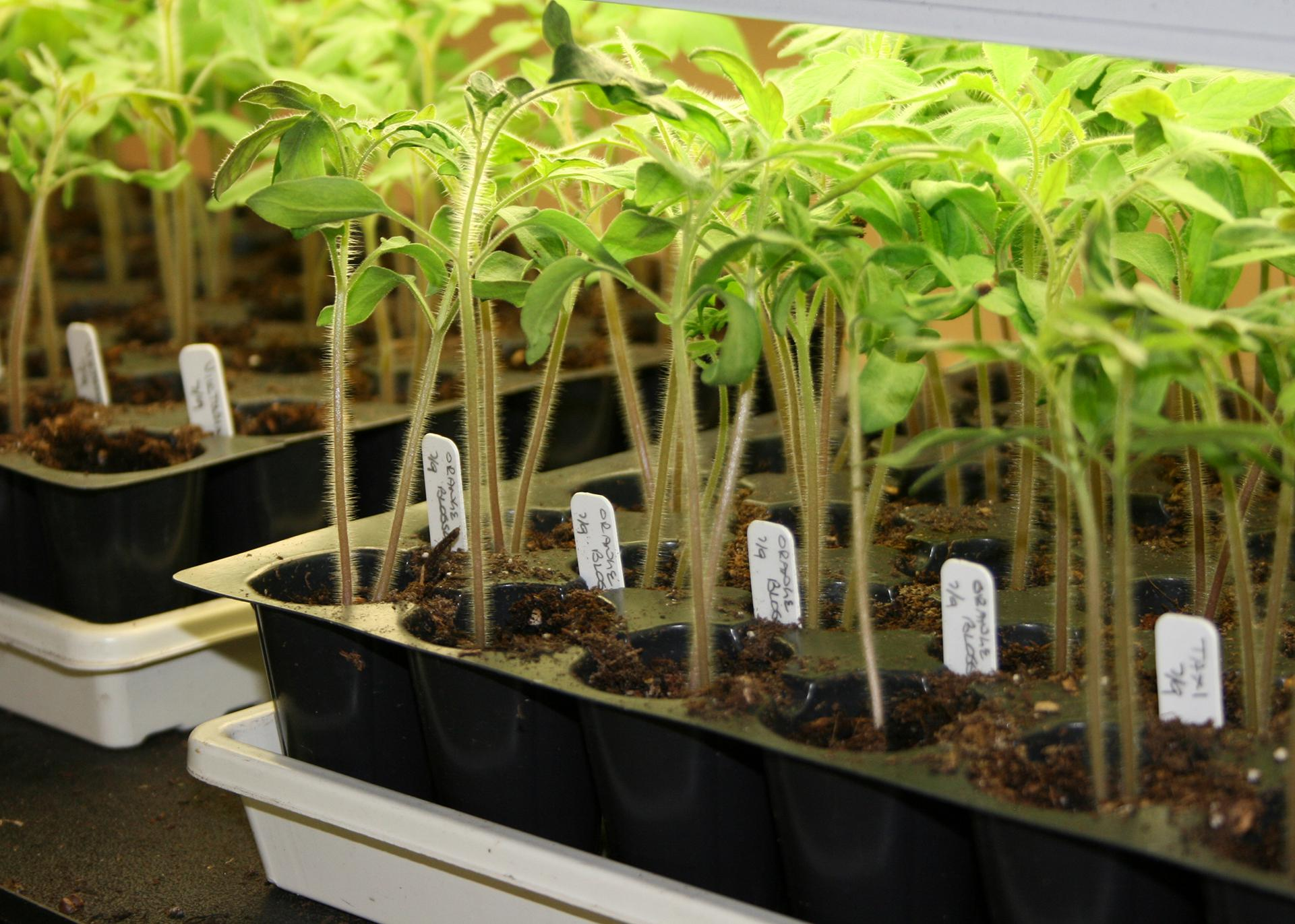Slender, green seedlings grow in rows under lights in black trays marked by white tags.