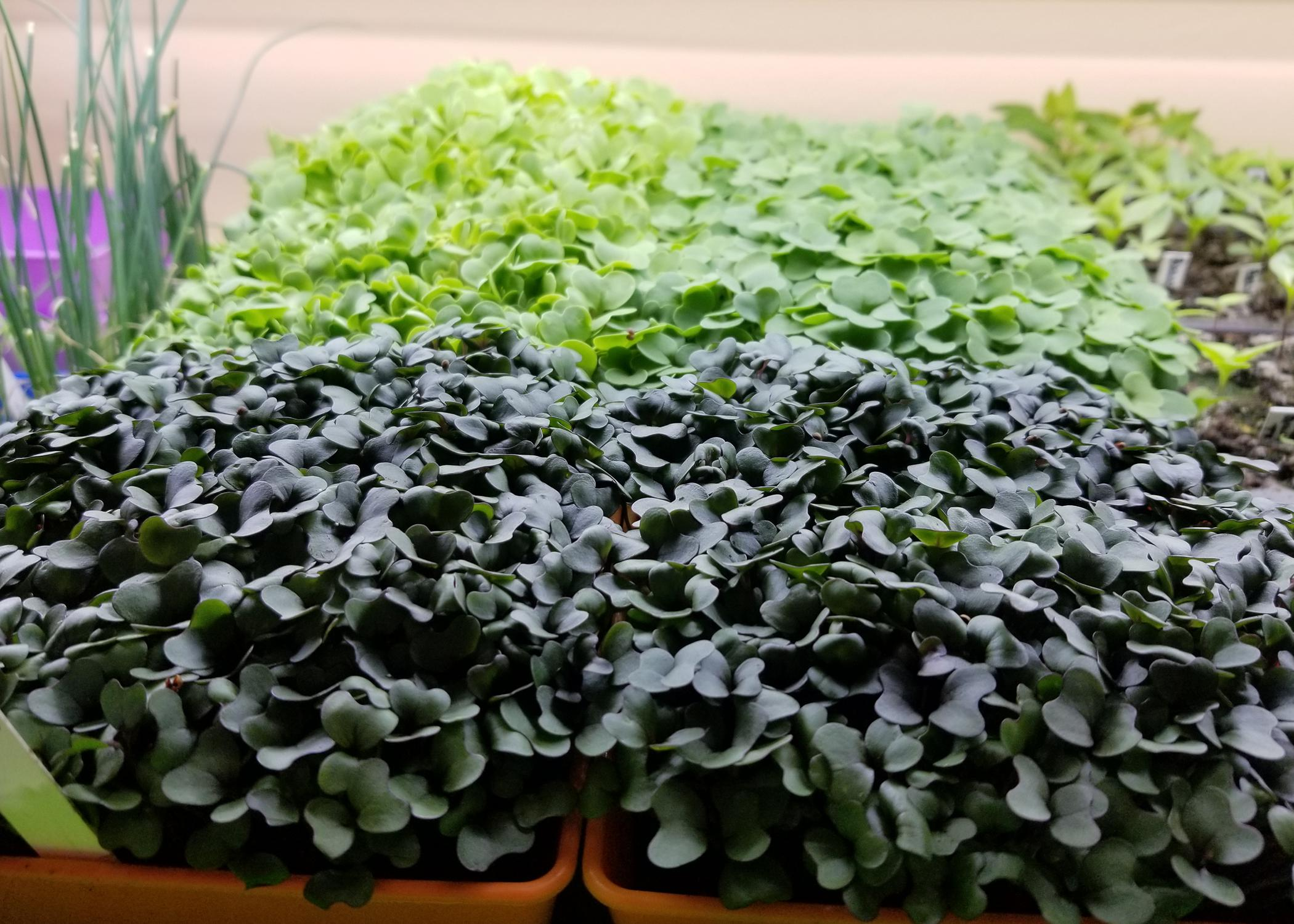 A carpet of tiny green and purple plants fill garden trays.