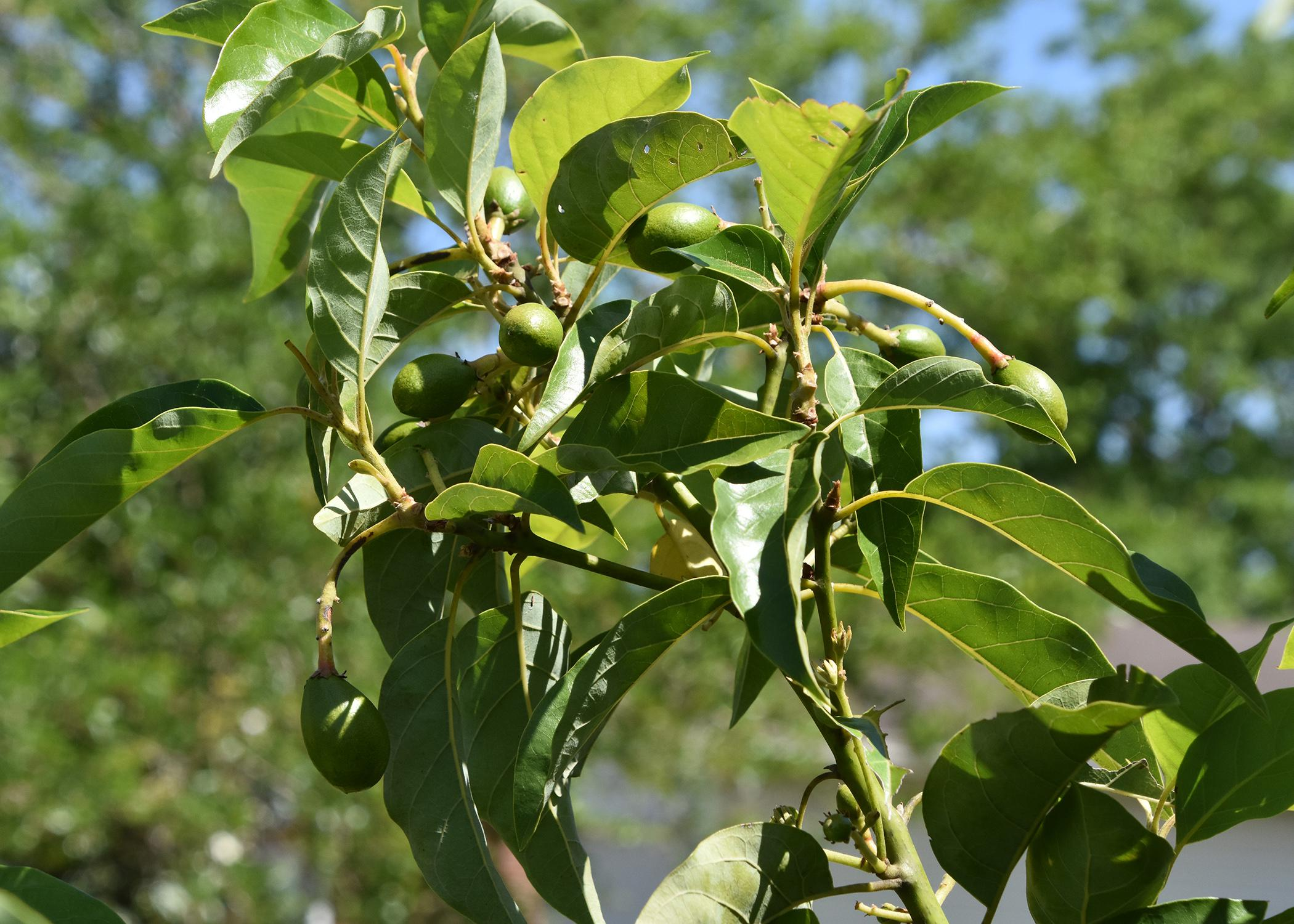A small branch with green leaves has several small, green avacados growing from it.