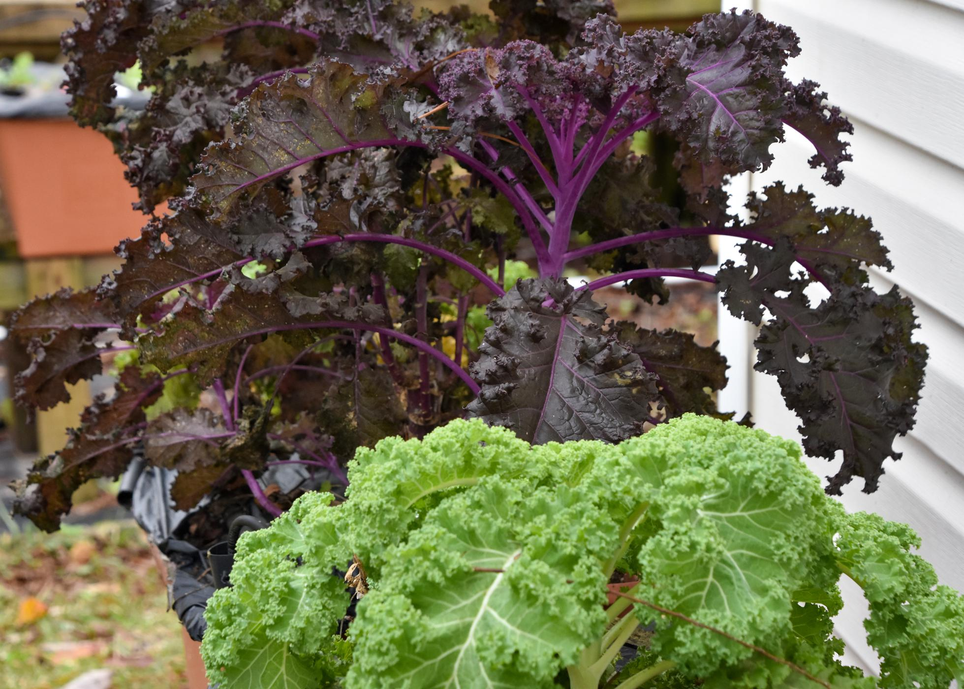 Plants with ruffled, purple leaves and ruffled, green leaves.
