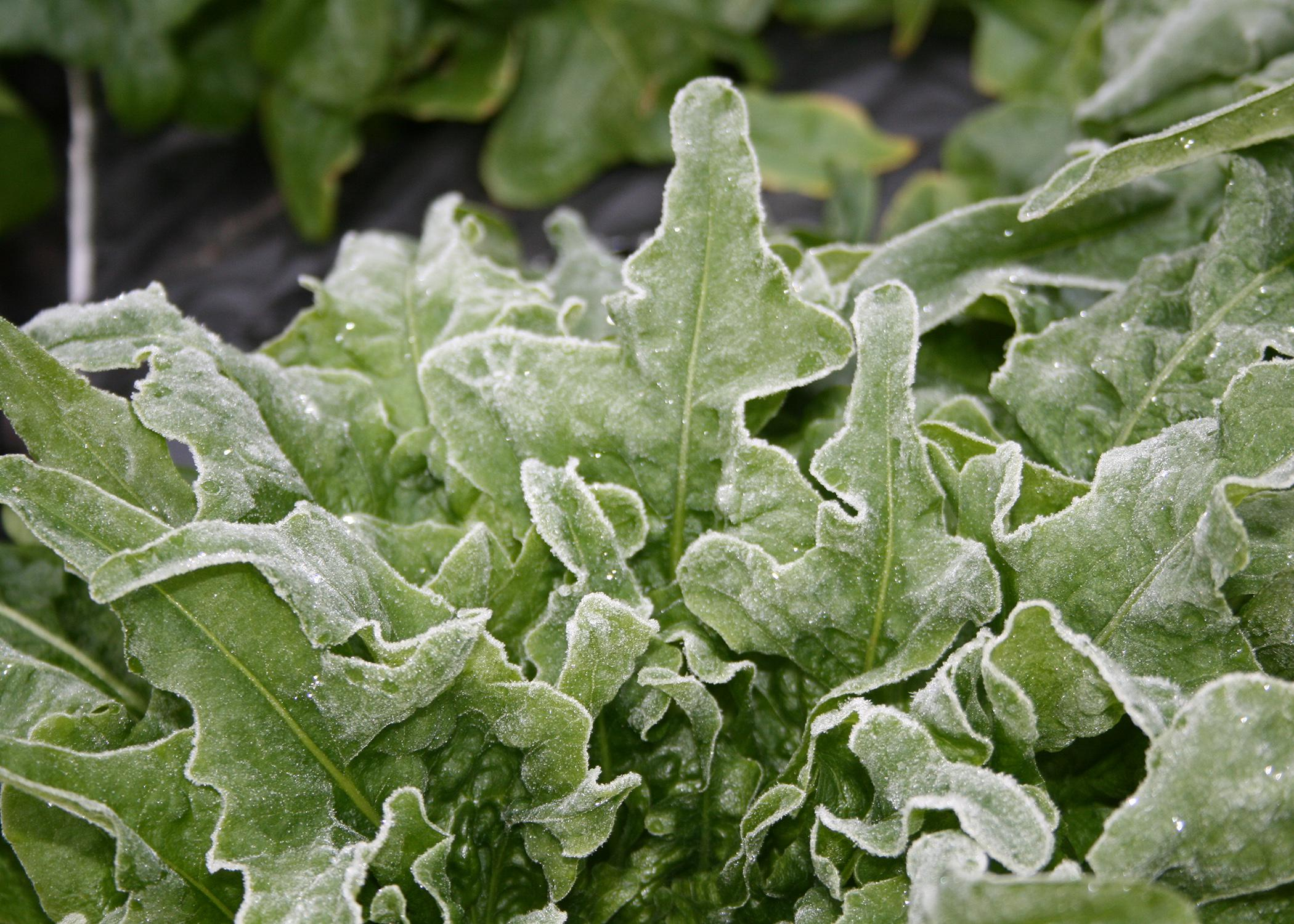 Frost covers the ruffled leaves of young lettuce.
