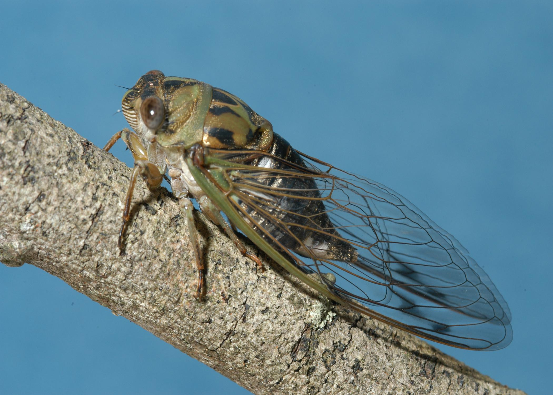 A winged, greenish insect rests on a branch.