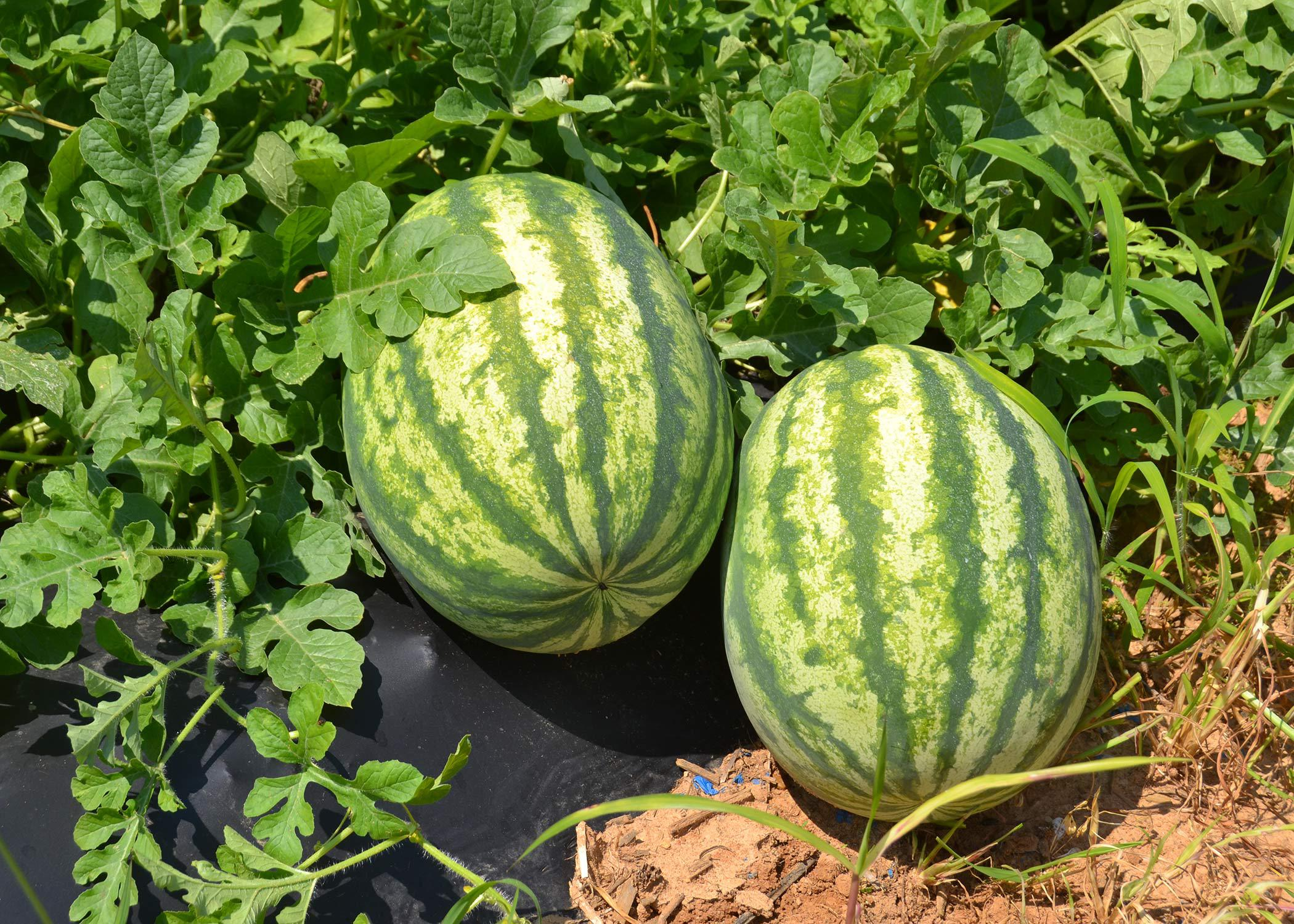 Two watermelons on the vine.