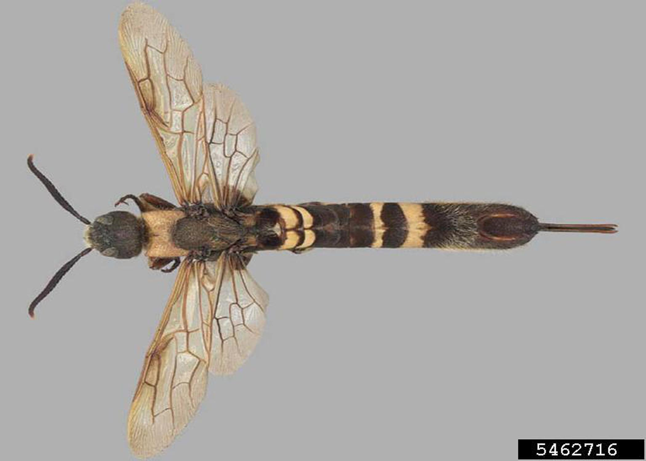 A photo of a female Asian horntail wasp.
