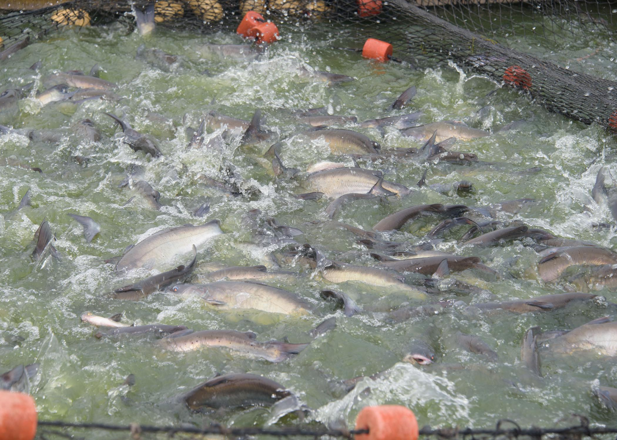 Catfish swimming above a net.