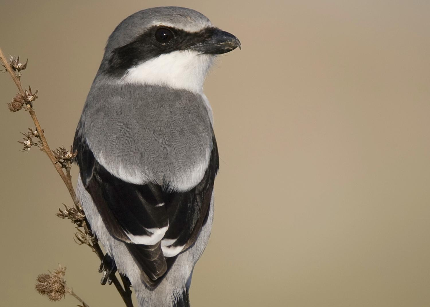 A bird with black and gray feathers perches on a stem.
