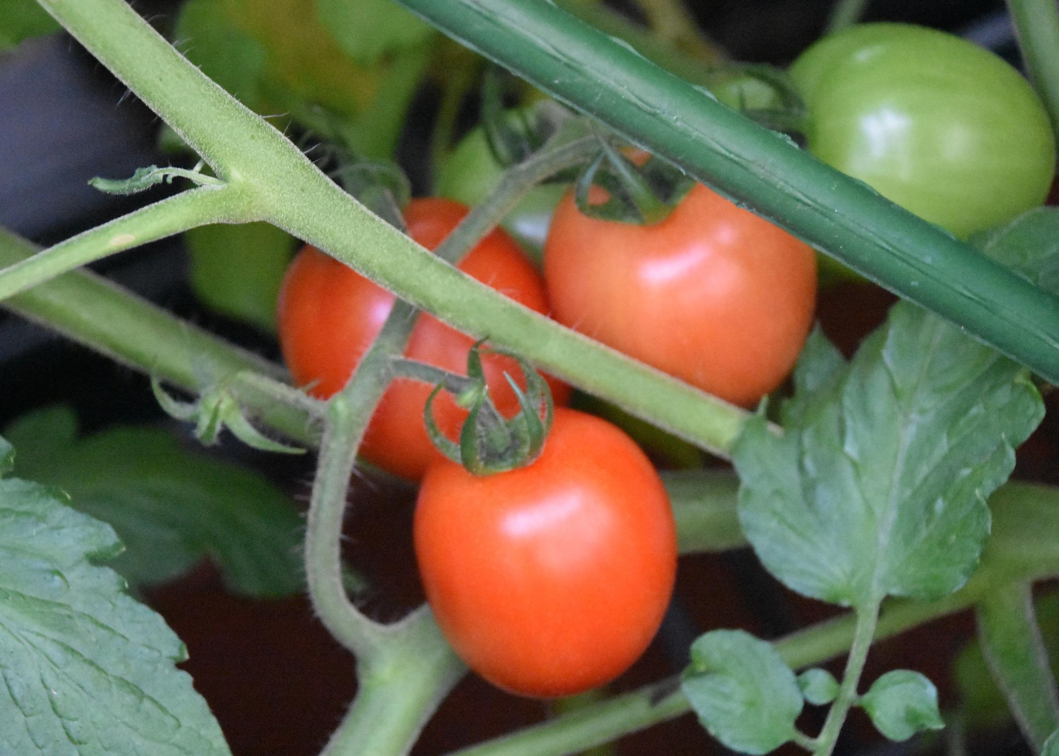 Three red tomatoes grow on a plant with green tomatoes.