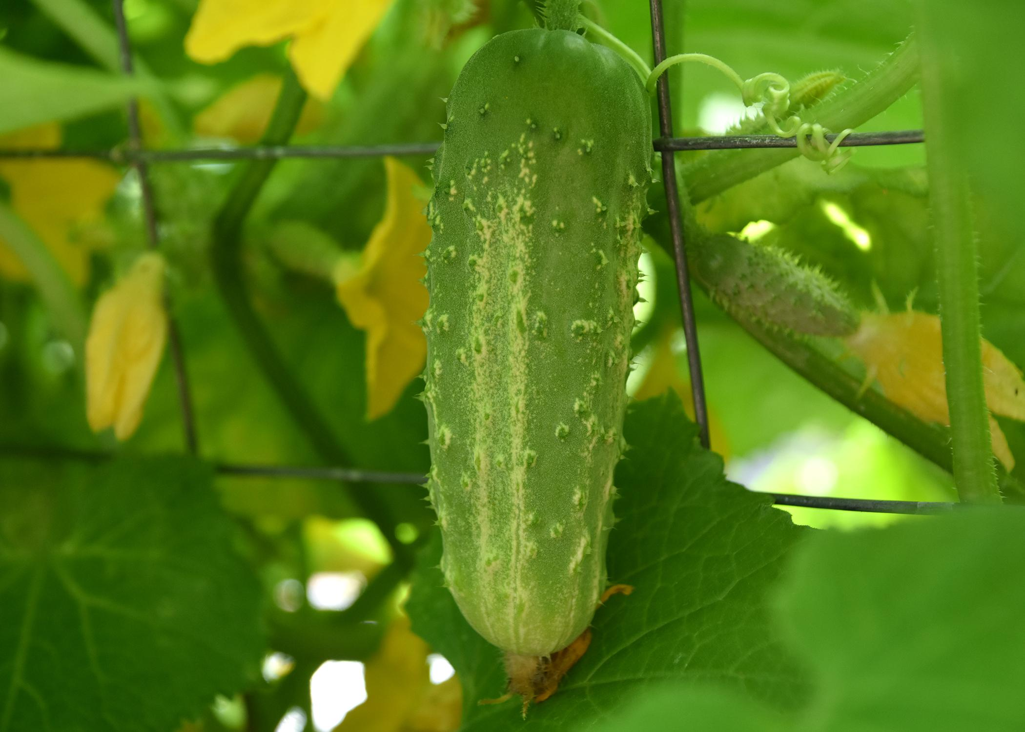 A single, green cucumber hangs on a vine.