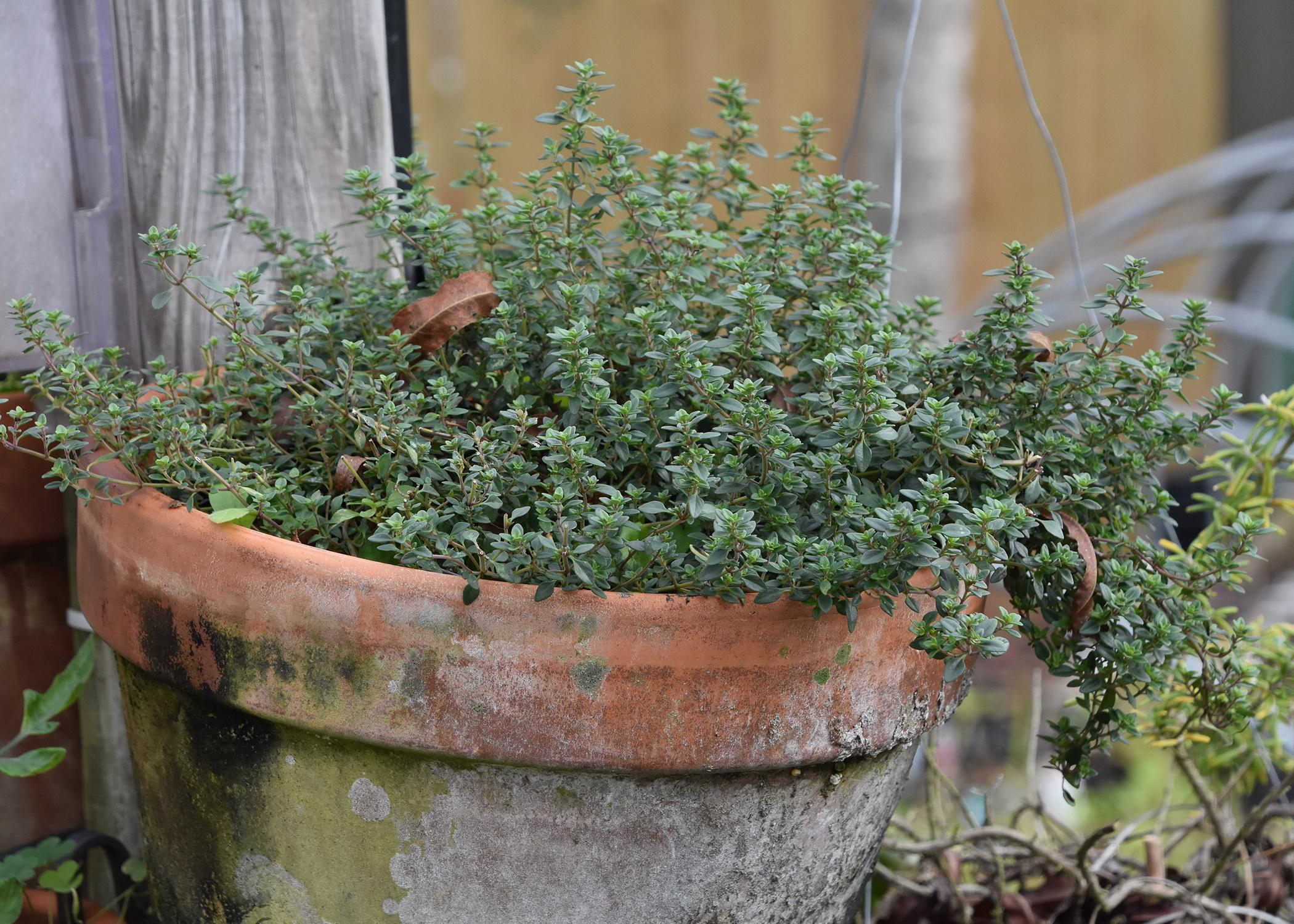 A low-growing plant with tiny leaves grows in a large pot.