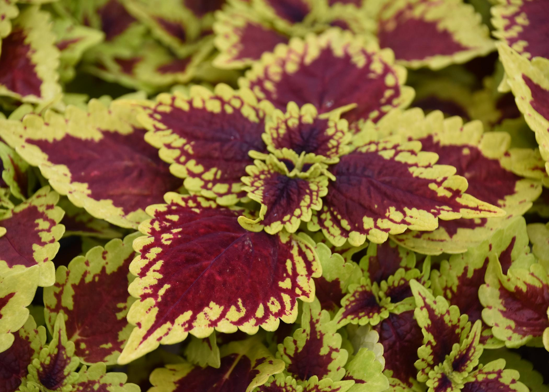 Lime green, ruffled leaves have reddish centers.