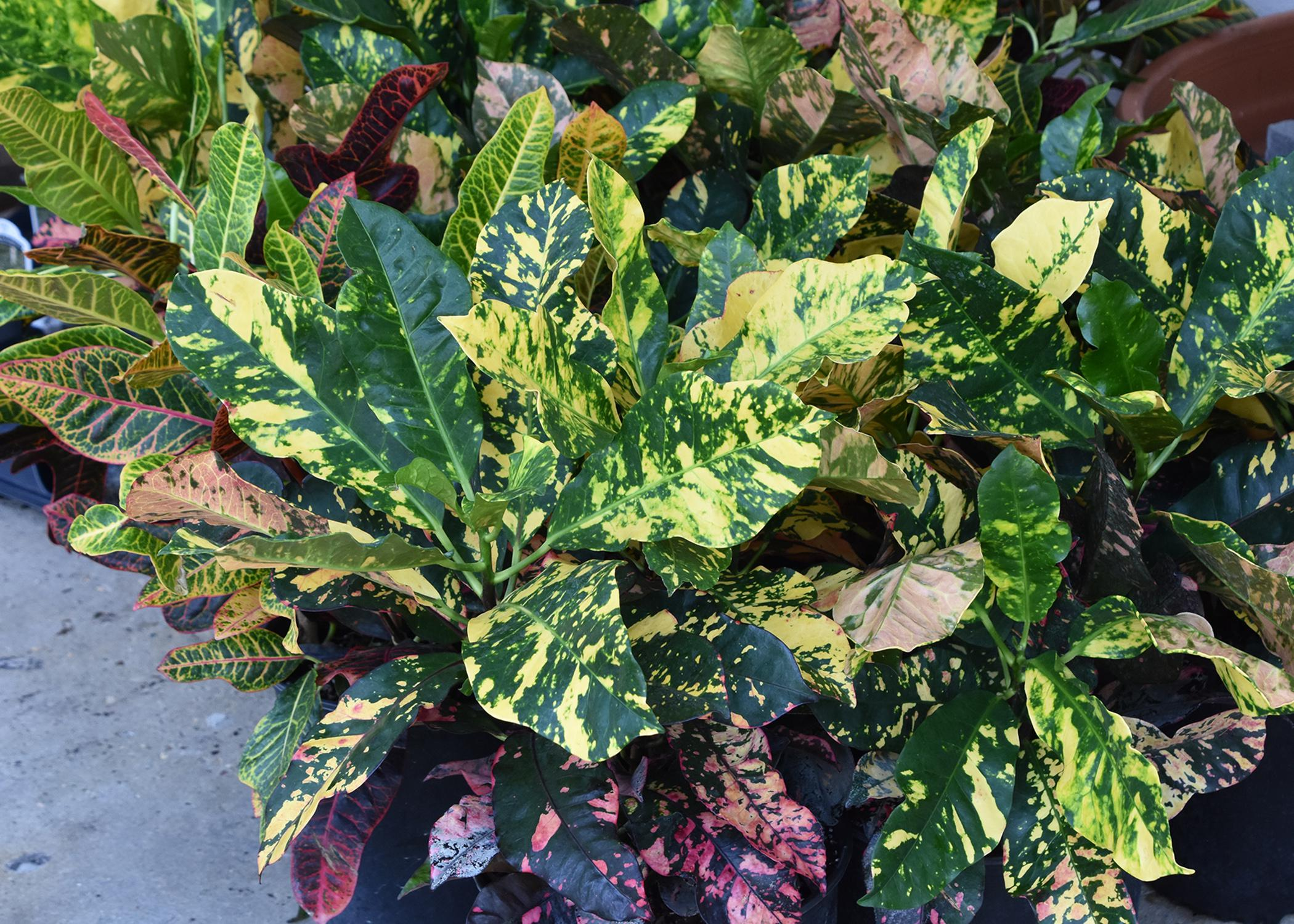Green leaves are decorated with yellow or pink splotches.