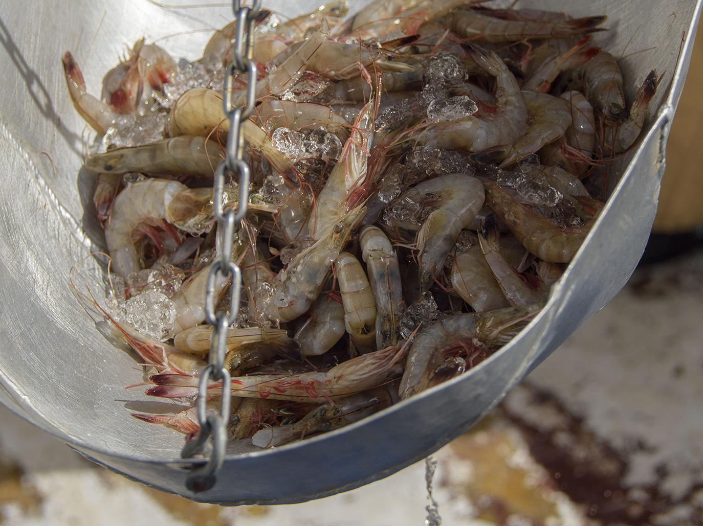 Mississippi's shrimp season, which opened June 6, is mostly yielding small brown shrimp. However, hot weather and warmer water in the Gulf is creating ideal growing conditions for the shrimp. (File Photo by MSU Extension Service/Kevin Hudson)
