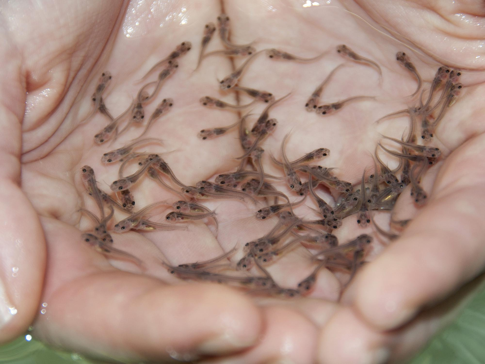 High demand for fingerlings to stock ponds is keeping catfish supply tight and resulting in profits for Mississippi's catfish industry. (File photo by MSU Extension Service/Kat Lawrence)