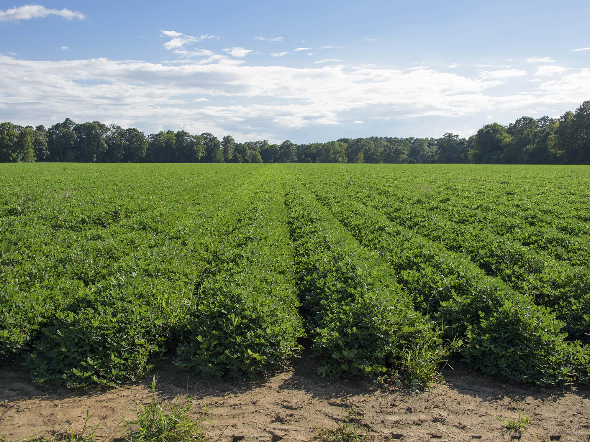 Peanuts in this Monroe County field look good on Aug. 10, 2016. Harvest is expected to begin around Sept. 10, and yield may average more than 4,000 pounds per acre, up from the average of 3,400 pounds per acre last year.  (Photo by MSU Extension Service/Kevin Hudson)