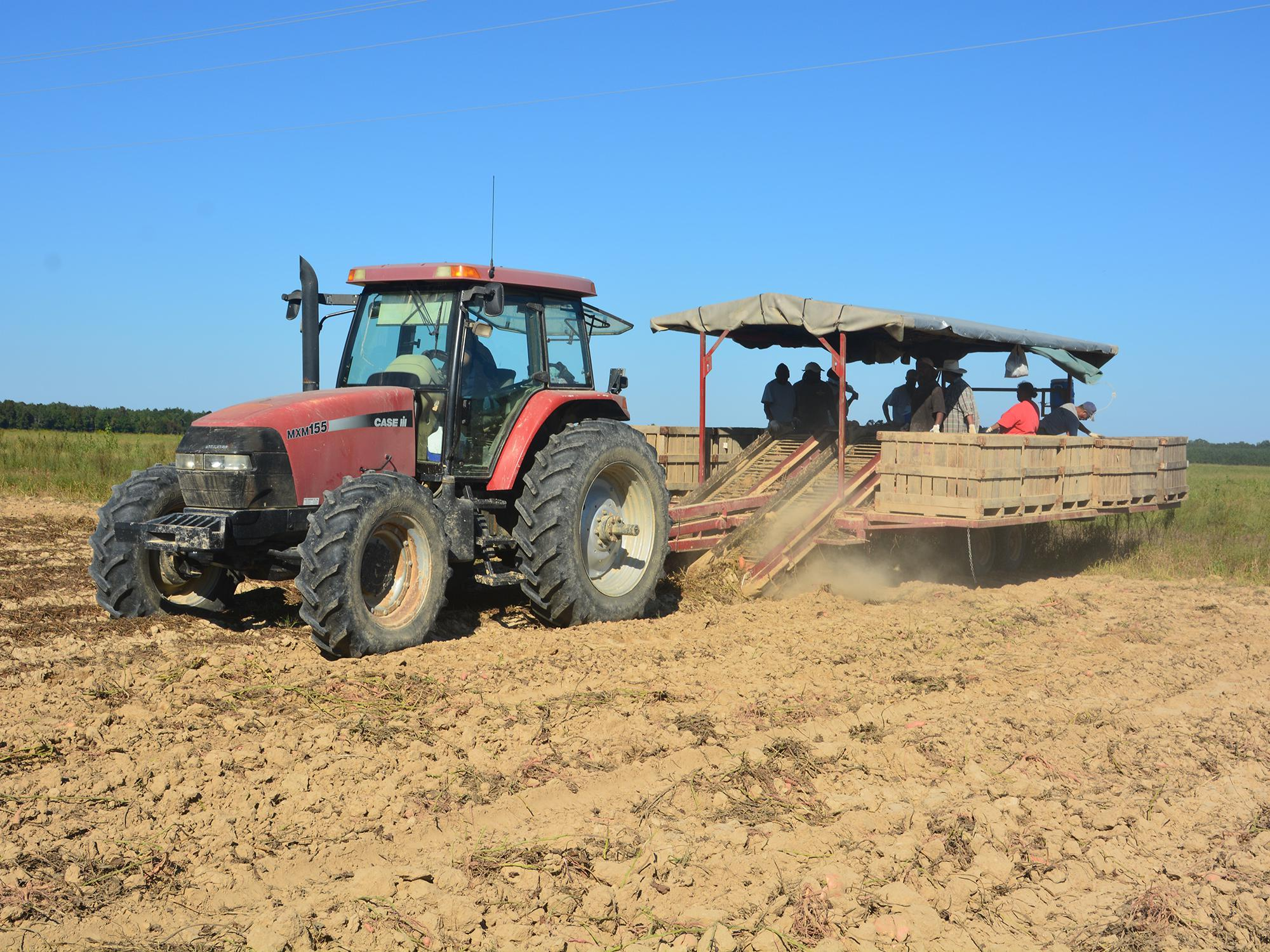 This tractor creeps across a Vardaman, Mississippi, field Sept. 20, 2016, digging sweet potatoes while workers sort them based on size and quality. (Photo by MSU Extension Service/Linda Breazeale)