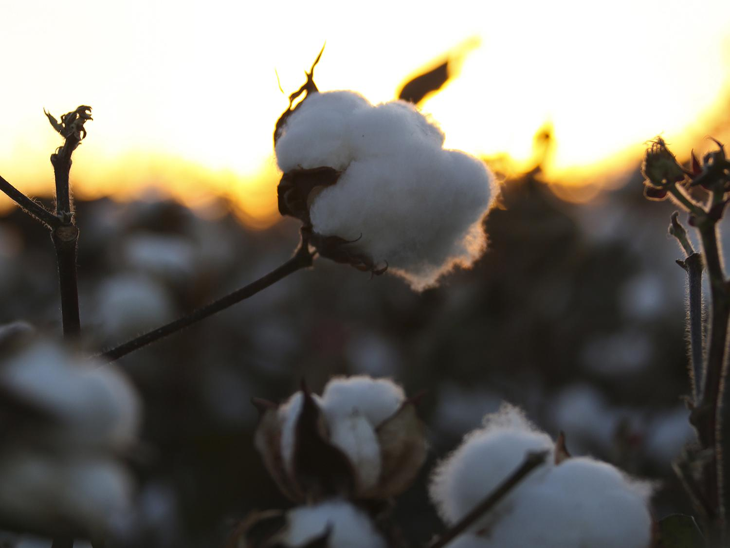 Mississippi producers are expected to plant 550,000 cotton acres this year to meet high export demand. If realized, this will be a 26 percent increase over last year's production. (File photo by MSU Extension/Kat Lawrence)