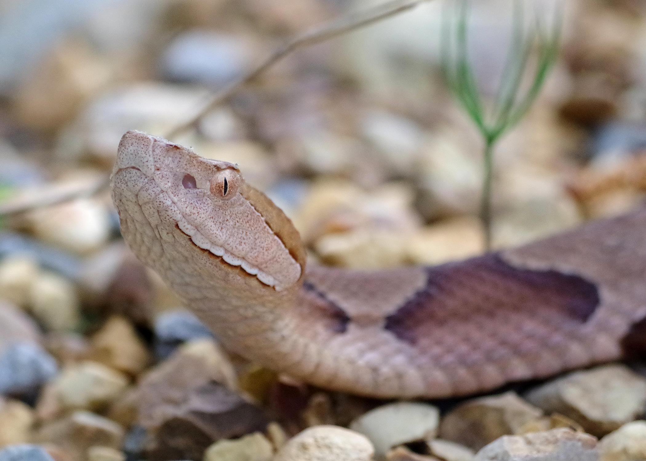 In Mississippi, most venomous snakes, such as this copperhead, have a triangular-shaped head with vertical, cat-like pupils in their eyes. The only exception is the coral snake. (Photo courtesy of Taylor Hannah)