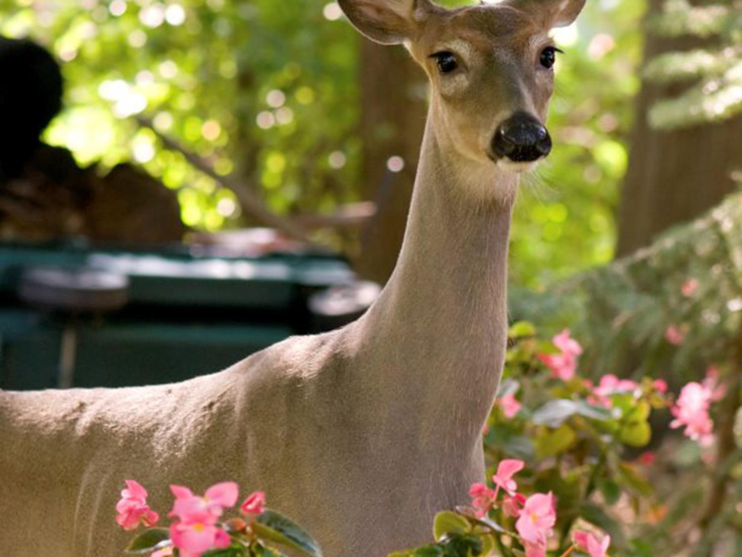 Not my roses Keep deer out of the garden Mississippi State