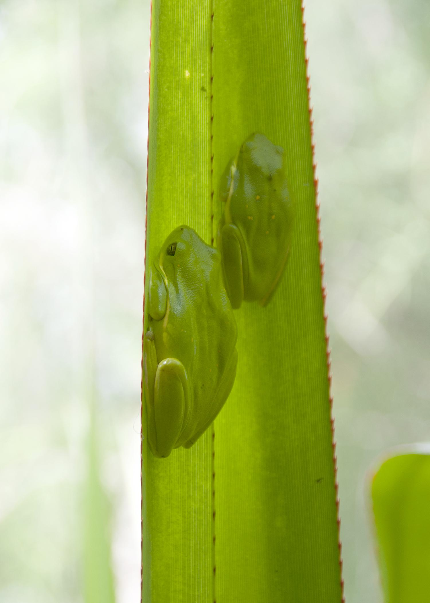 Frogs in Mississippi, such as these green tree frogs, typically can be found napping in shady, moist areas during the day to avoid drying out before an evening spent in search of mates. (File phot by MSU Ag Communications/Kat Lawrence)