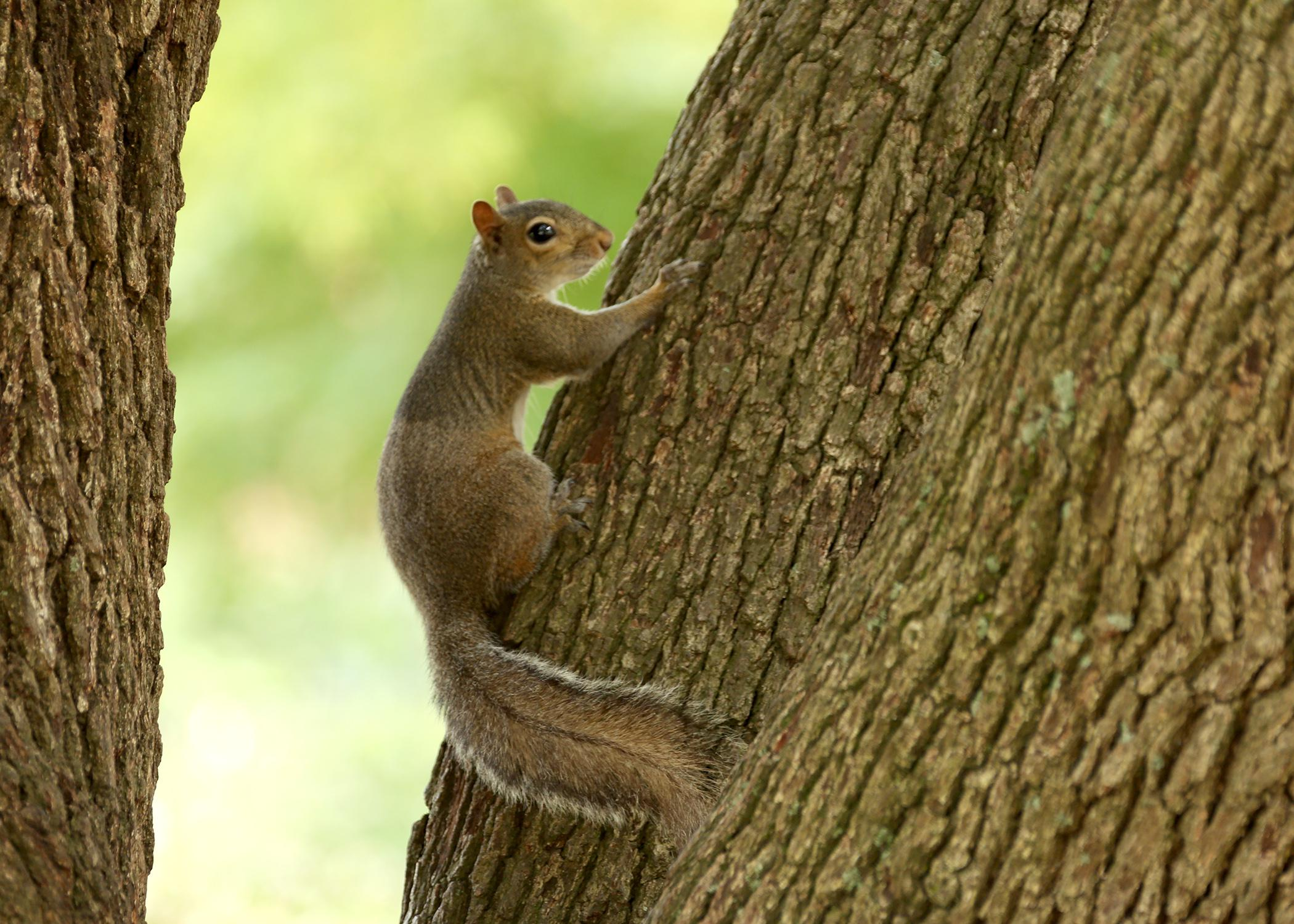 Although squirrels traditionally gather nuts, seeds, acorns, mushrooms, insects and leaves from forested habitats, they also enjoy readily available food from backyard and agricultural habitats, which often causes conflict between squirrels and homeowners. (Photo by MSU Ag Communications/Kat Lawrence)