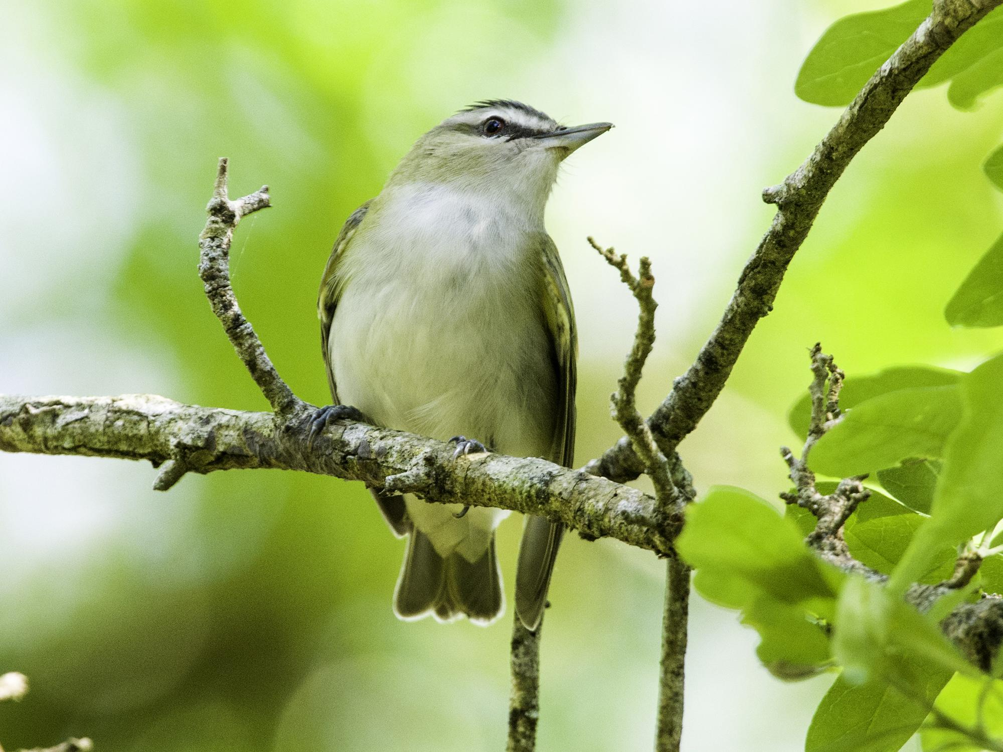 Male red-eyed vireos can sing an average of 20,000 times a day. (Submitted photo)