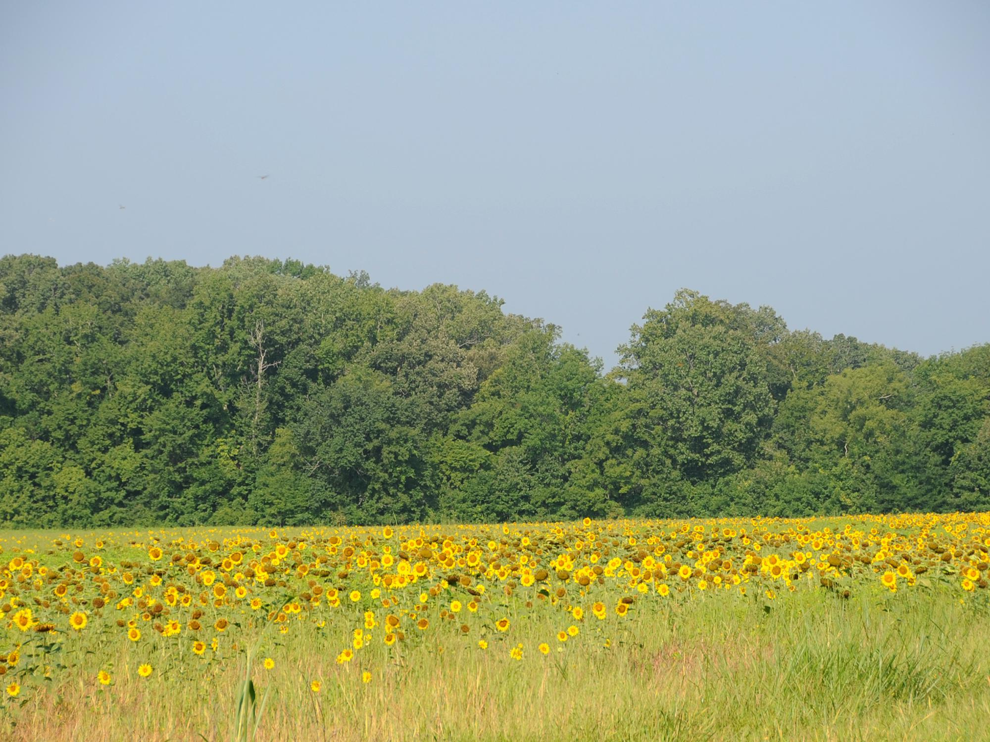 Sunflower fields offer photographers scenic settings in the summer. Later in the fall, fields like this one offer doves some of their favorite dining options. (MSU Extension Service file photo/Kat Lawrence)