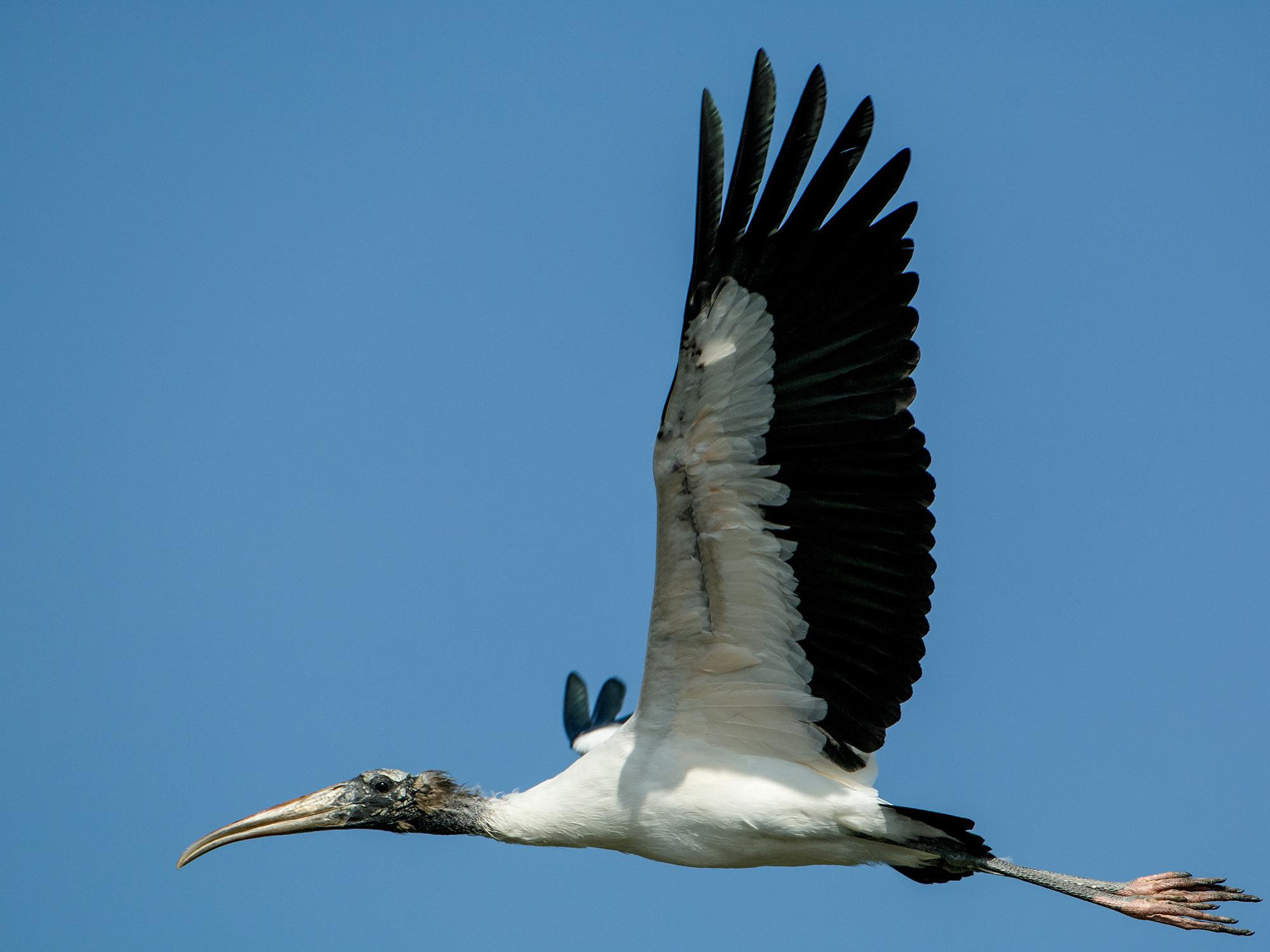 Wood storks stand out in the sky with their long wingspans, black-and-white color patterns and slow wing beats. (Photo by Bill Stripling).