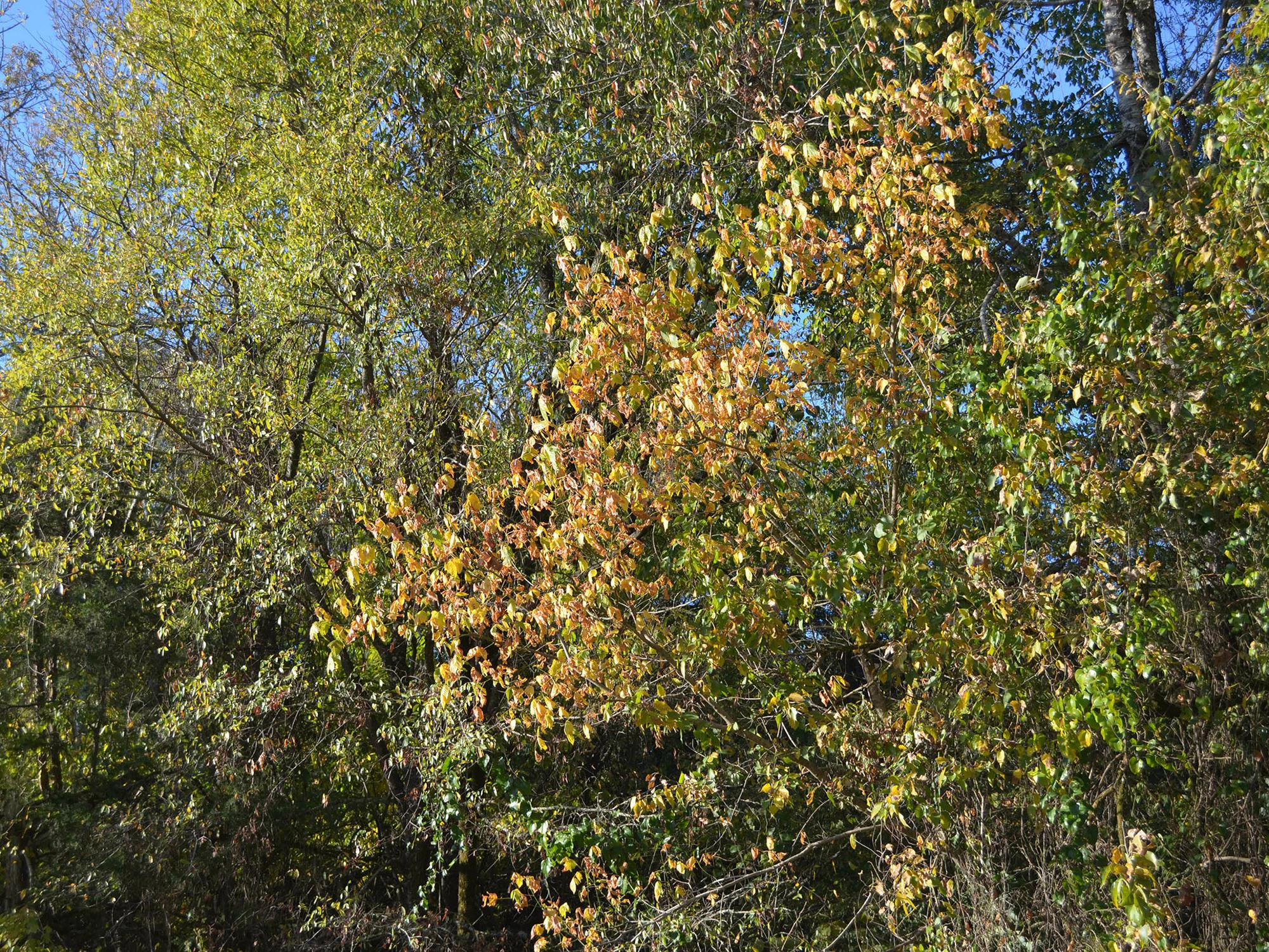 Mississippi foliage is just beginning to change to fall colors in Oktibbeha County on Oct. 12, 2016. (Photo by MSU Extension Service/Linda Breazeale)
