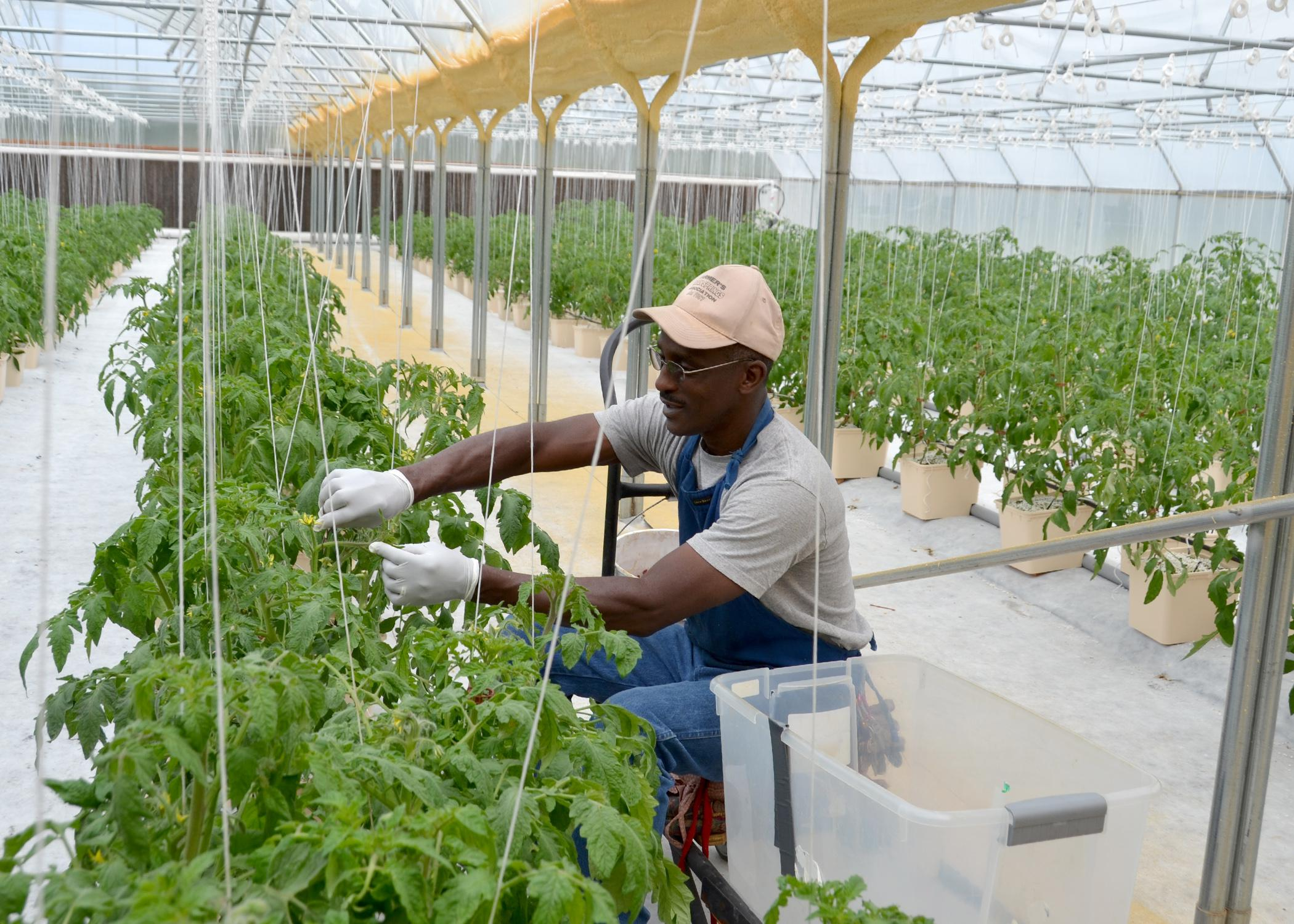 Leon Eaton removes suckers from his heirloom Cherokee Purple tomato plants on March 28, 2015. Eaton grows tomatoes and other vegetables he grows hydroponically on his Mount Olive, Mississippi, farm and sells them at farmers markets. (Photo by MSU Ag Communications/Susan Collins-Smith)