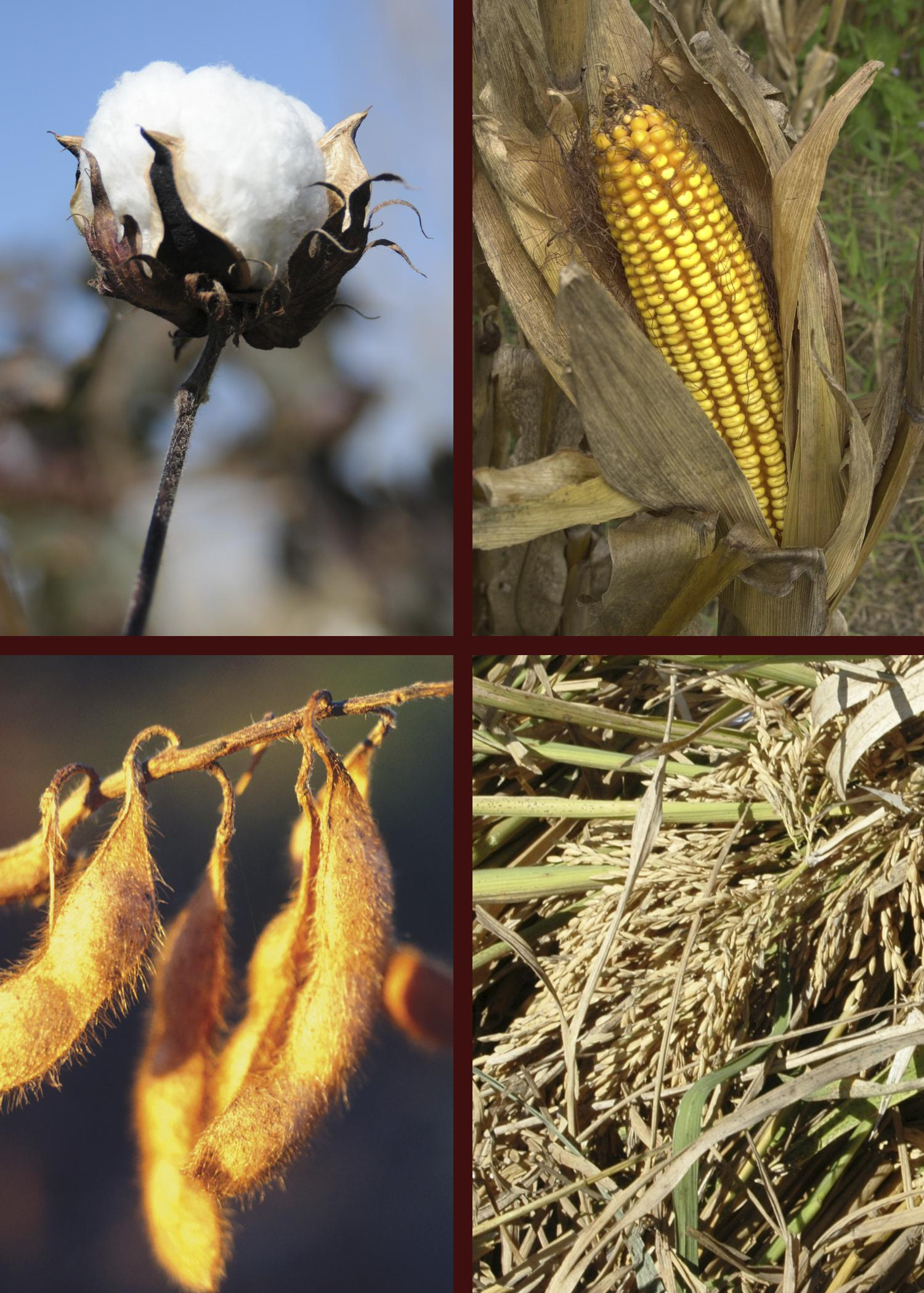 A photo showing corn, cotton, soybeans and rice.