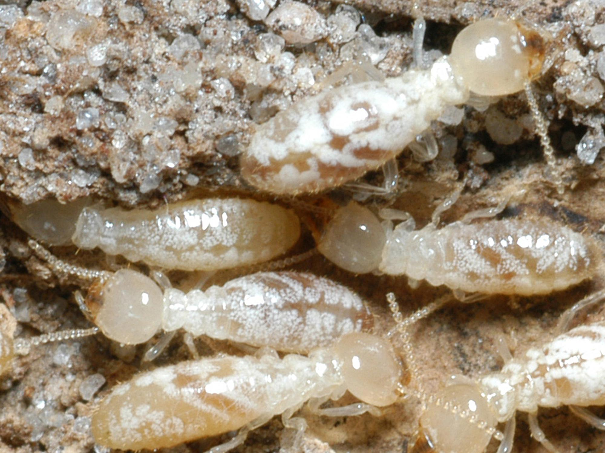 Termites swarm when they are looking for new places to begin colonies. Left uncontrolled, these pests can cause extensive damage to houses and other buildings. (Photo by MSU Extension Service/Blake Layton)