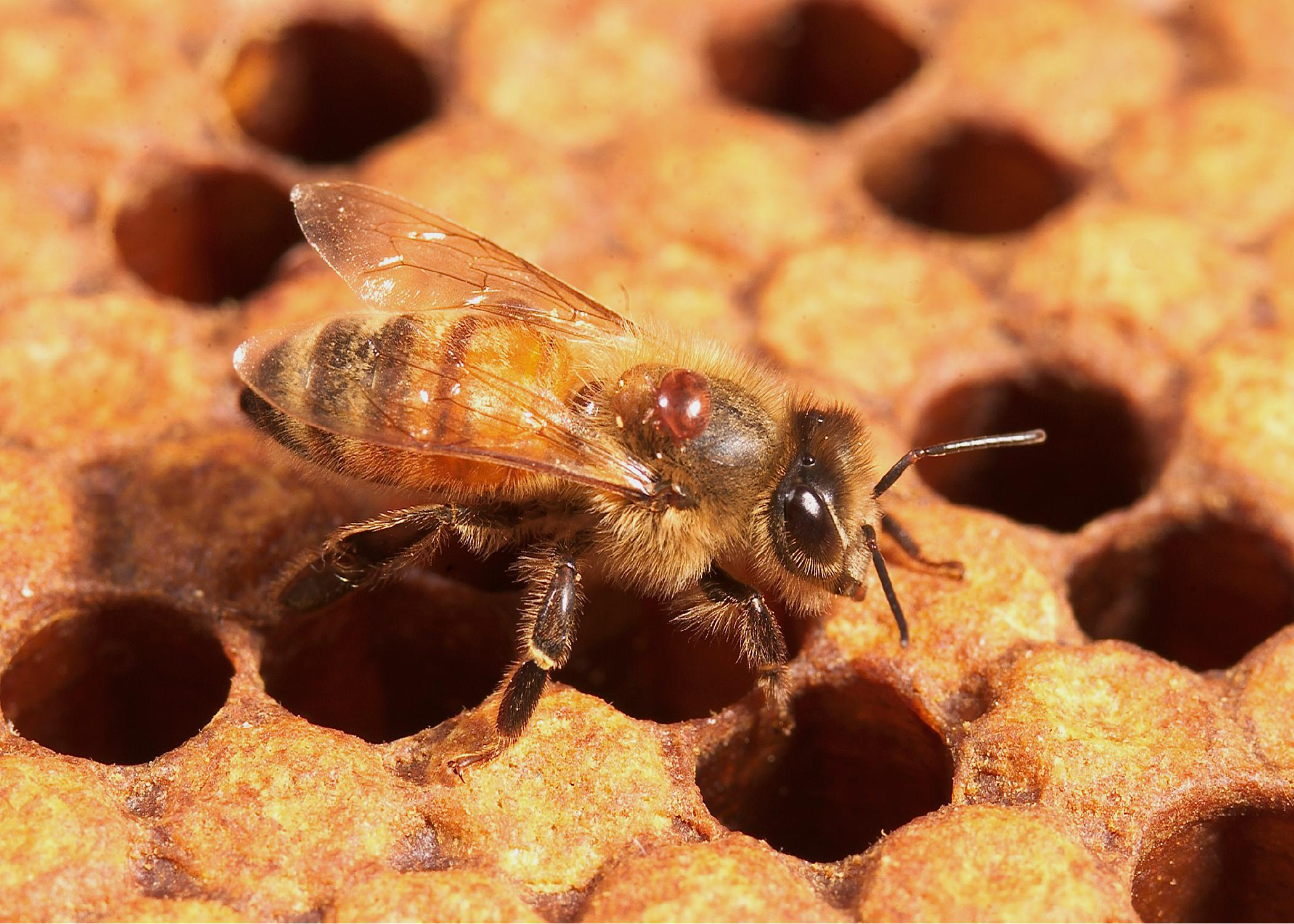 Varroa mites -- such as this one attached to a honeybee -- transmit viruses, weaken bee health and factor prominently in the decline of bee populations. (Photo by USDA-ARS/Steve Ausmus)