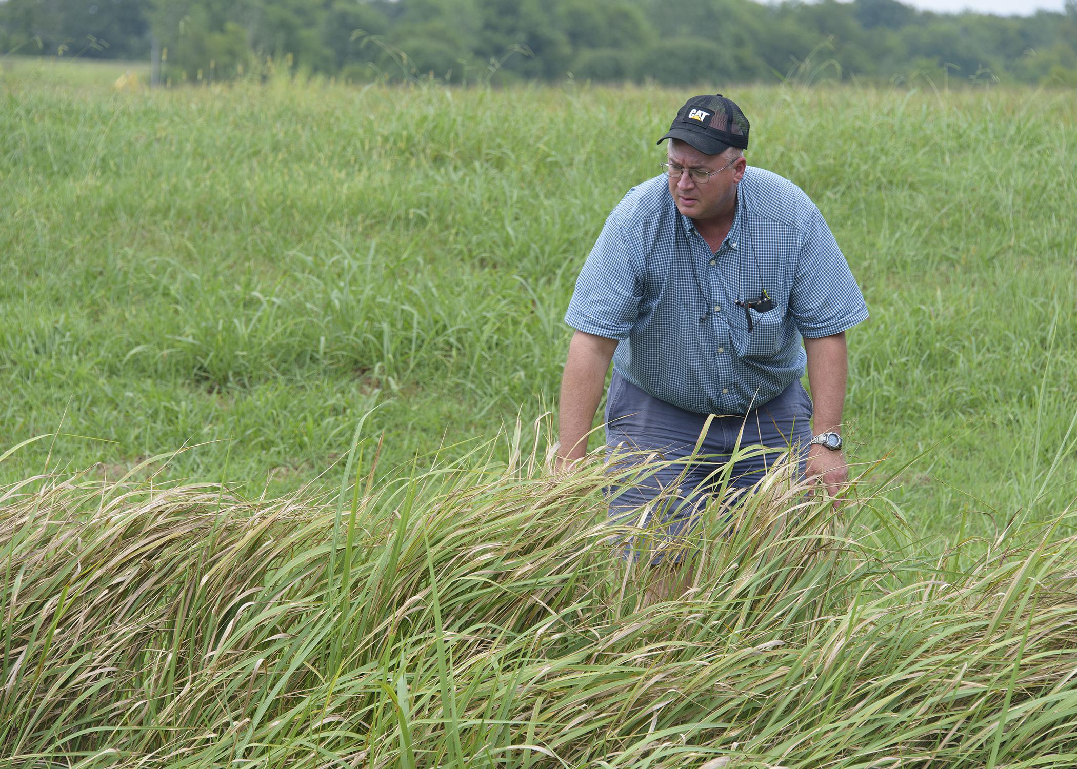 Cogongrass is a hardy, fast-growing invasive weed that is spreading across the Southeast. Mississippi State University Extension Service weed scientist John Byrd said it has no value as forage and displaces native ecosystems. (Photo by MSU Ag Communications/Kevin Hudson)