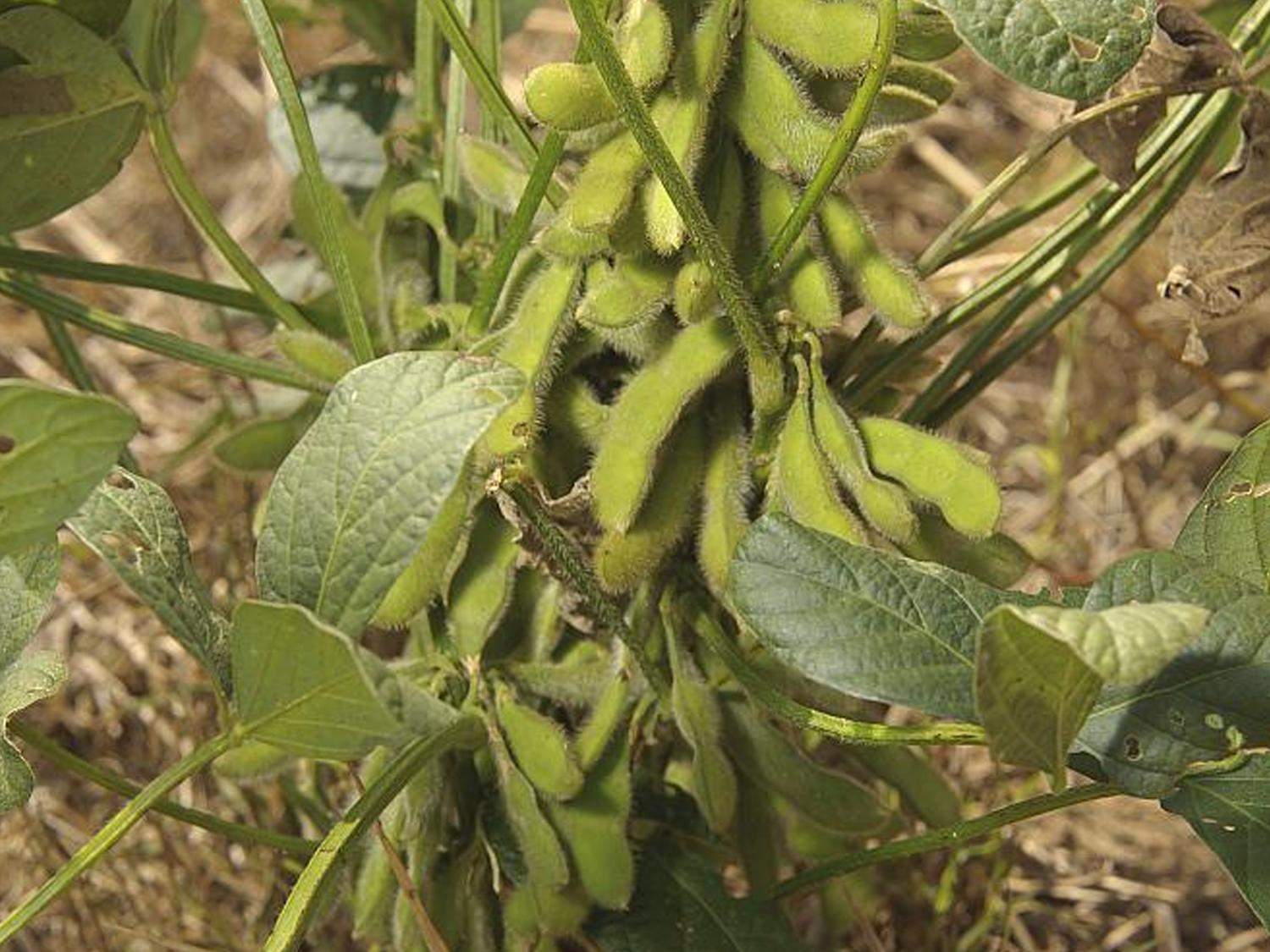 Soybeans remain Mississippi's largest crop with 2.3 million acres expected, according to a March 31 report by the U.S. Department of Agriculture. (MSU Ag Communications file photo/Kevin Hudson)