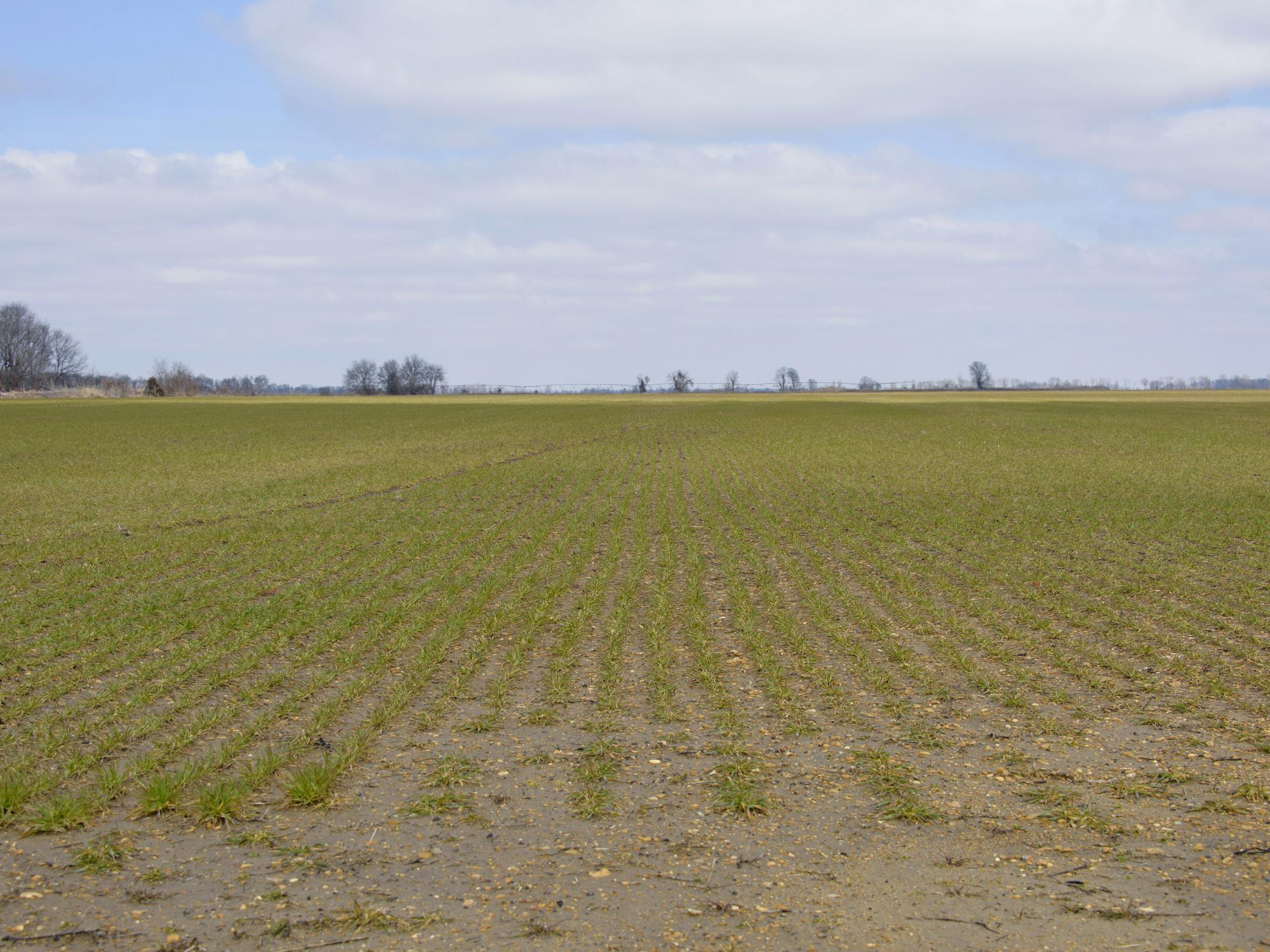 Saturated conditions complicated fertilizer application and delayed wheat across Mississippi. Stunted growth in low spots was visible in this Bolivar County wheat field on Feb. 27, 2015. (Photo by MSU Ag Communications/Kevin Hudson)